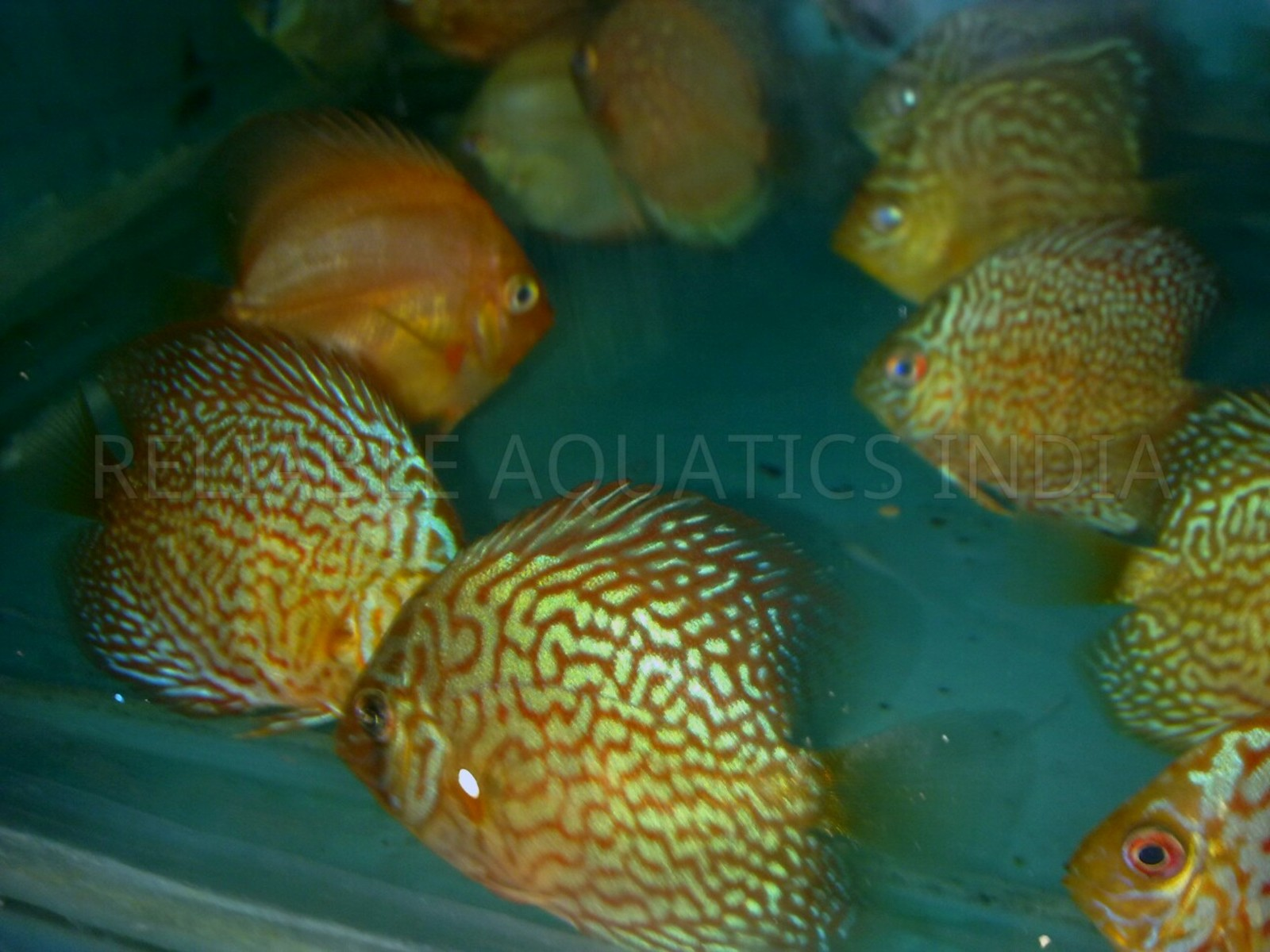 Imported Discus from Bangkok in India to grow in my Hatchery | by Tirthabrata Panja