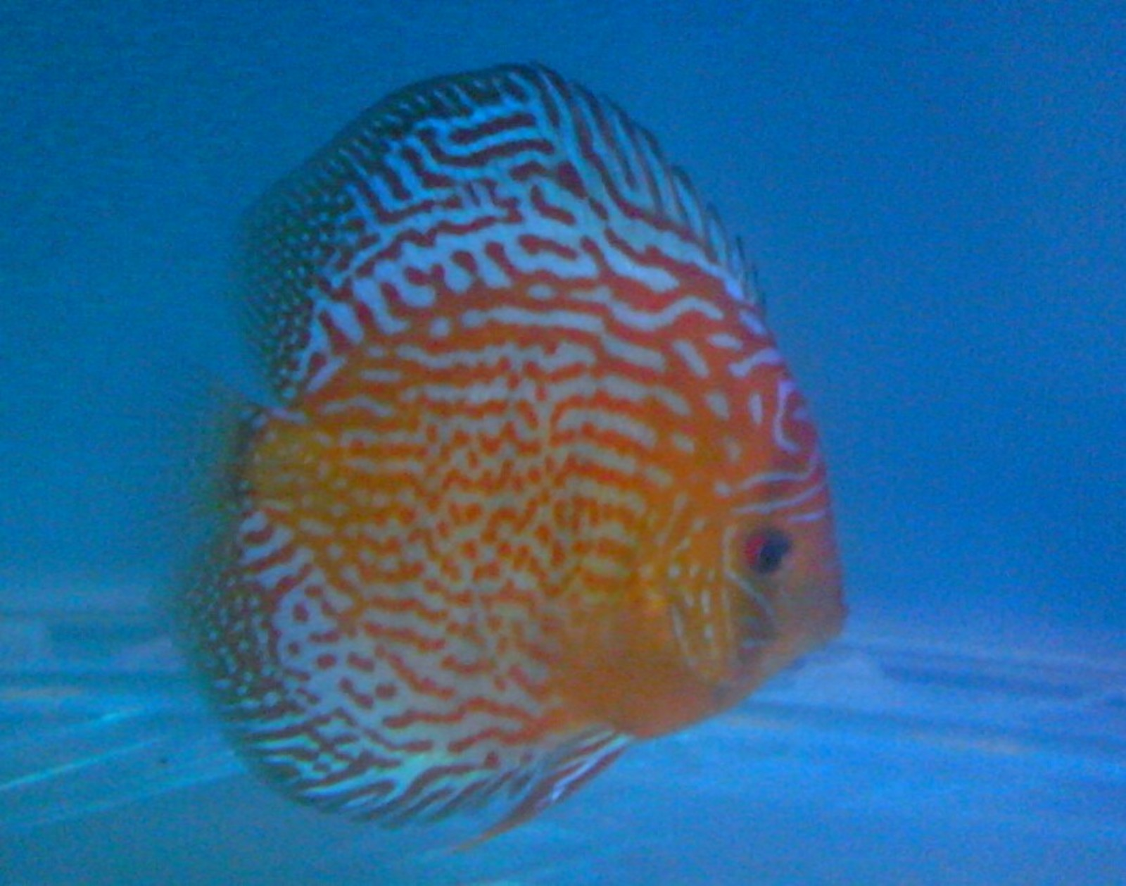 12 months 15 days from Egg SPOTTED LEOPARD DISCUS FISH IN INDIA. DISCUS BREED IN INDIA | by Tirthabrata Panja