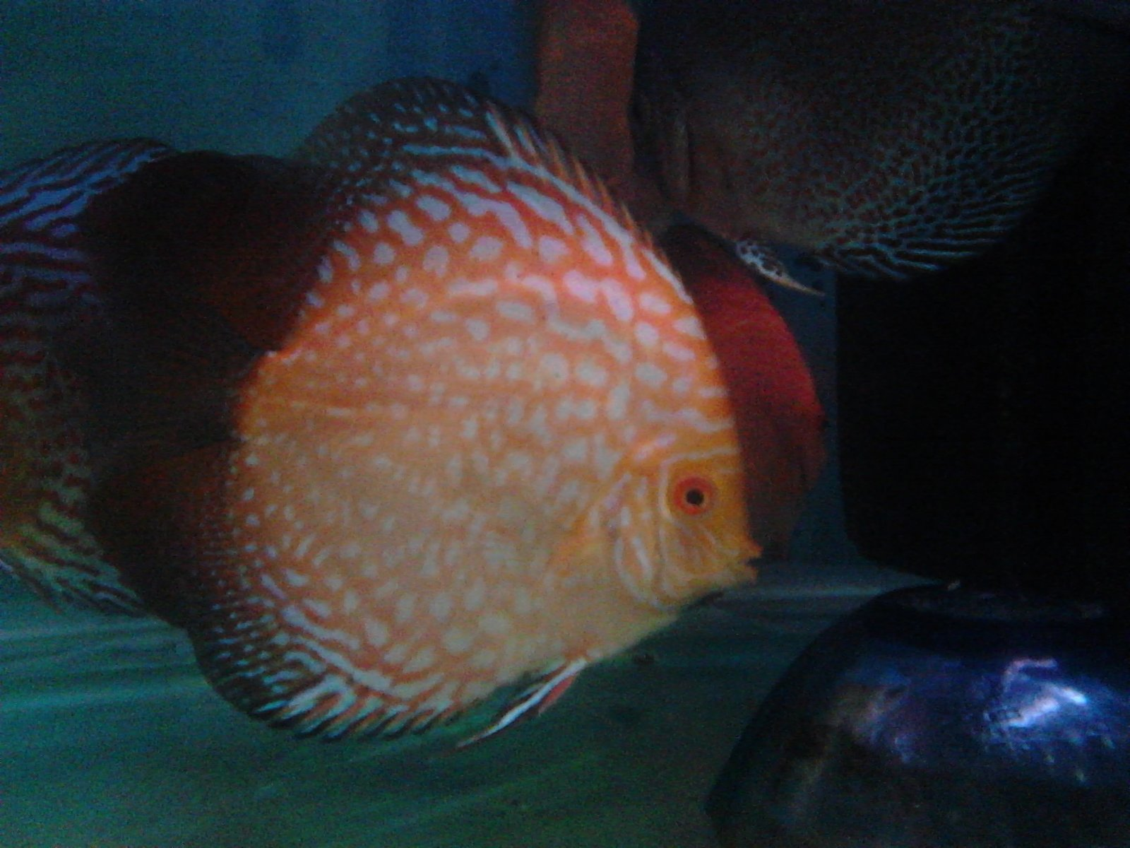 8 months old Pegion Checkerboard. Discus. Indian Breed | by Tirthabrata Panja