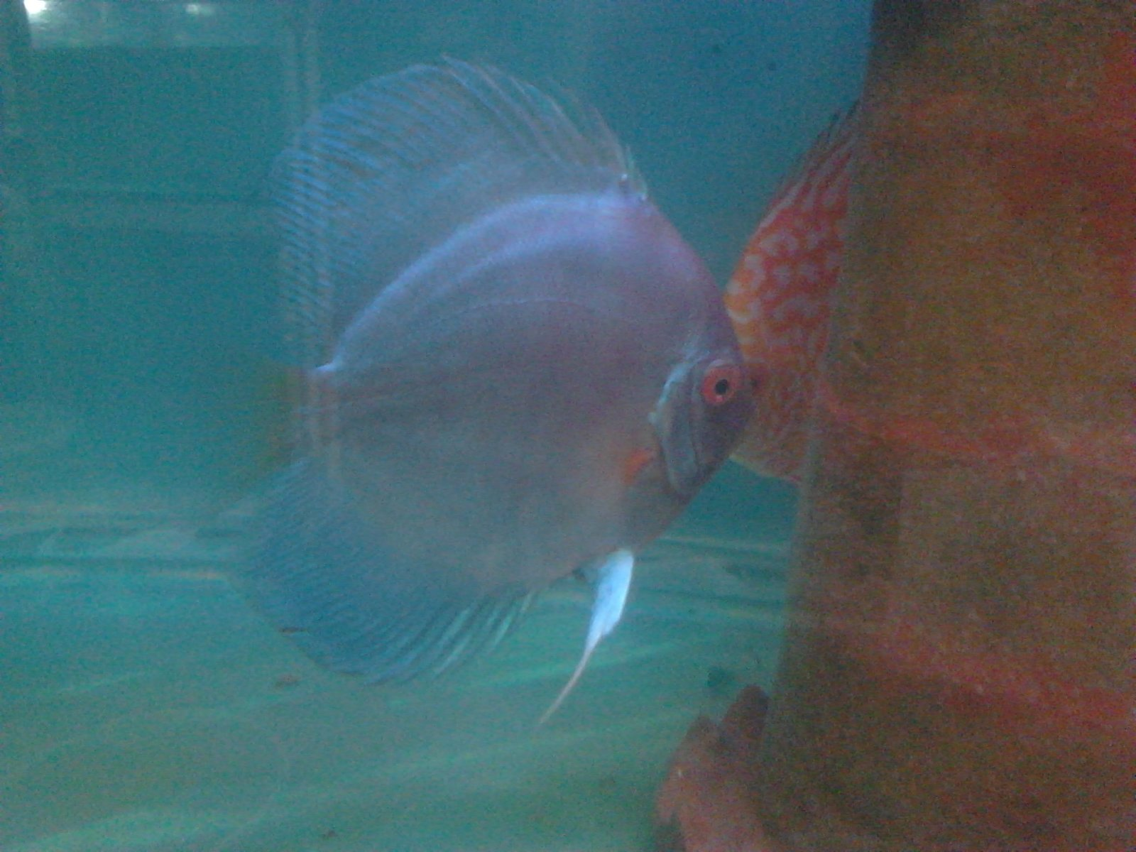 India Breed Discus. 12 months 15 day old Blue Diamond  | by Tirthabrata Panja