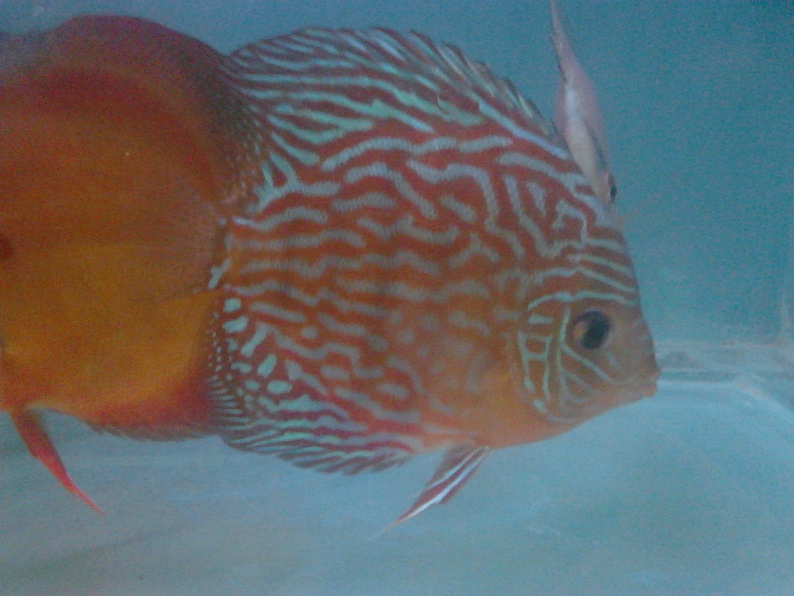 DISCUS FIS IN INDIA. 12months 15 days old TURQUIES DISCUS  | by Tirthabrata Panja