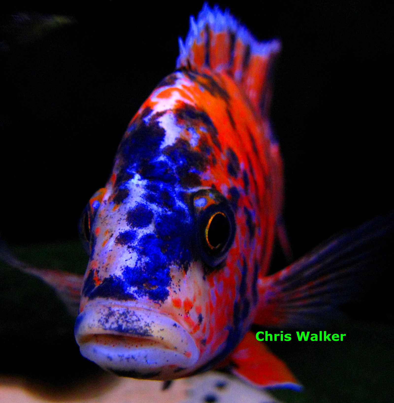 Orange OB Peacock | by Chris Walker