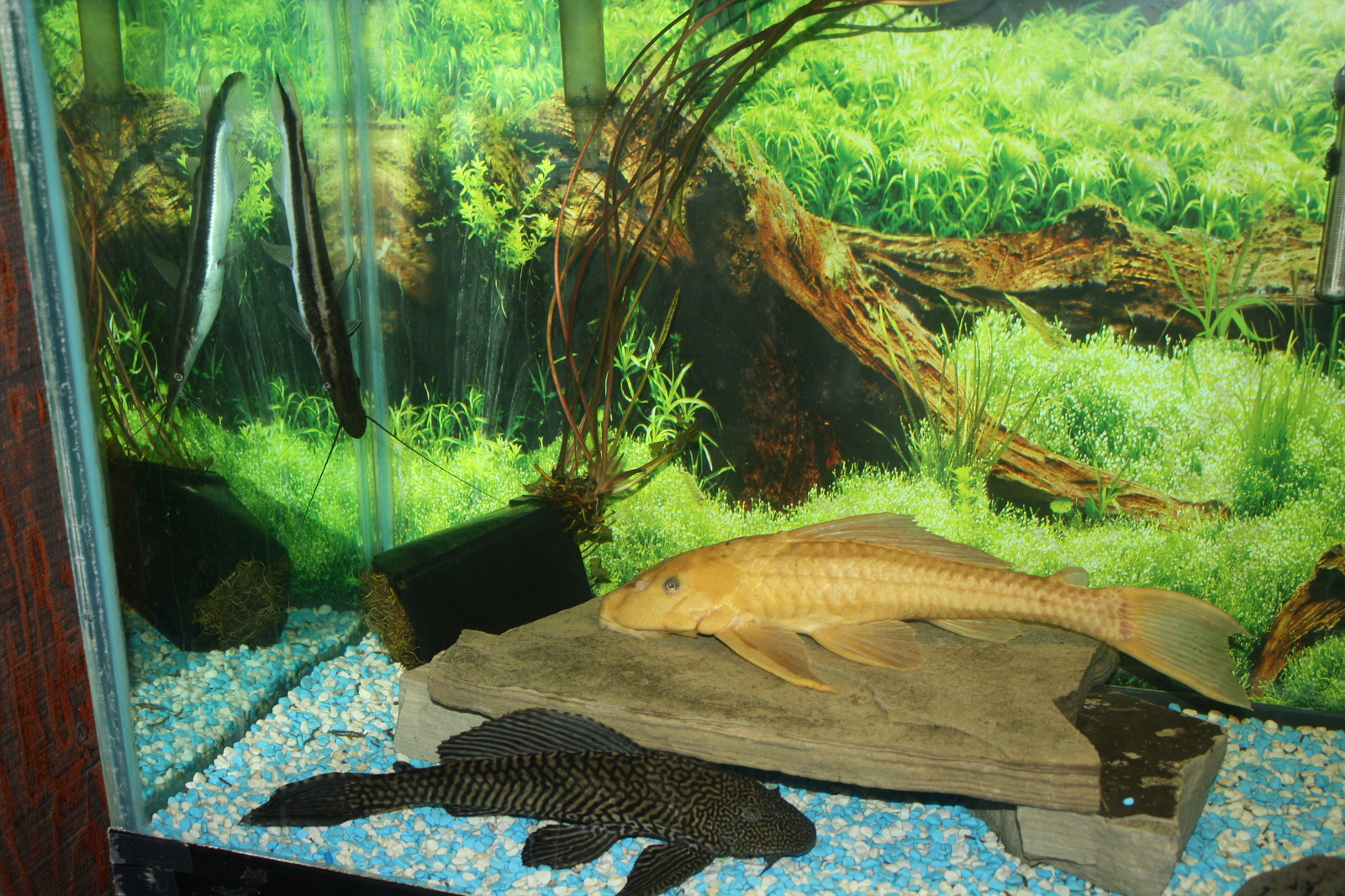 pleco's and lima shovelnose catfish | by Gasper Pantaleo