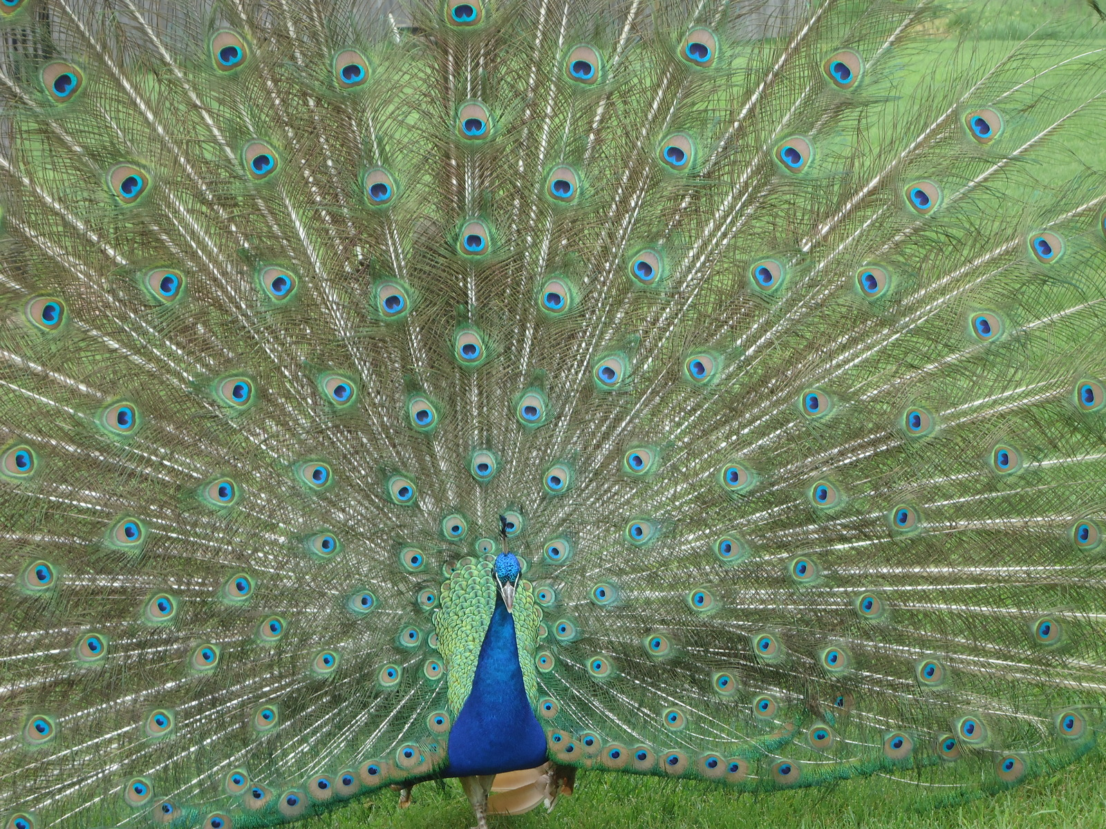 Male Peacock | by Murali P