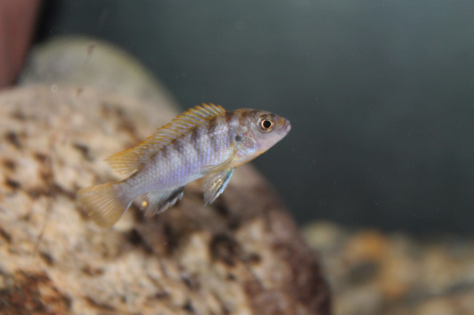 New Addition. labidochromis Hongi | by Chris Bohley