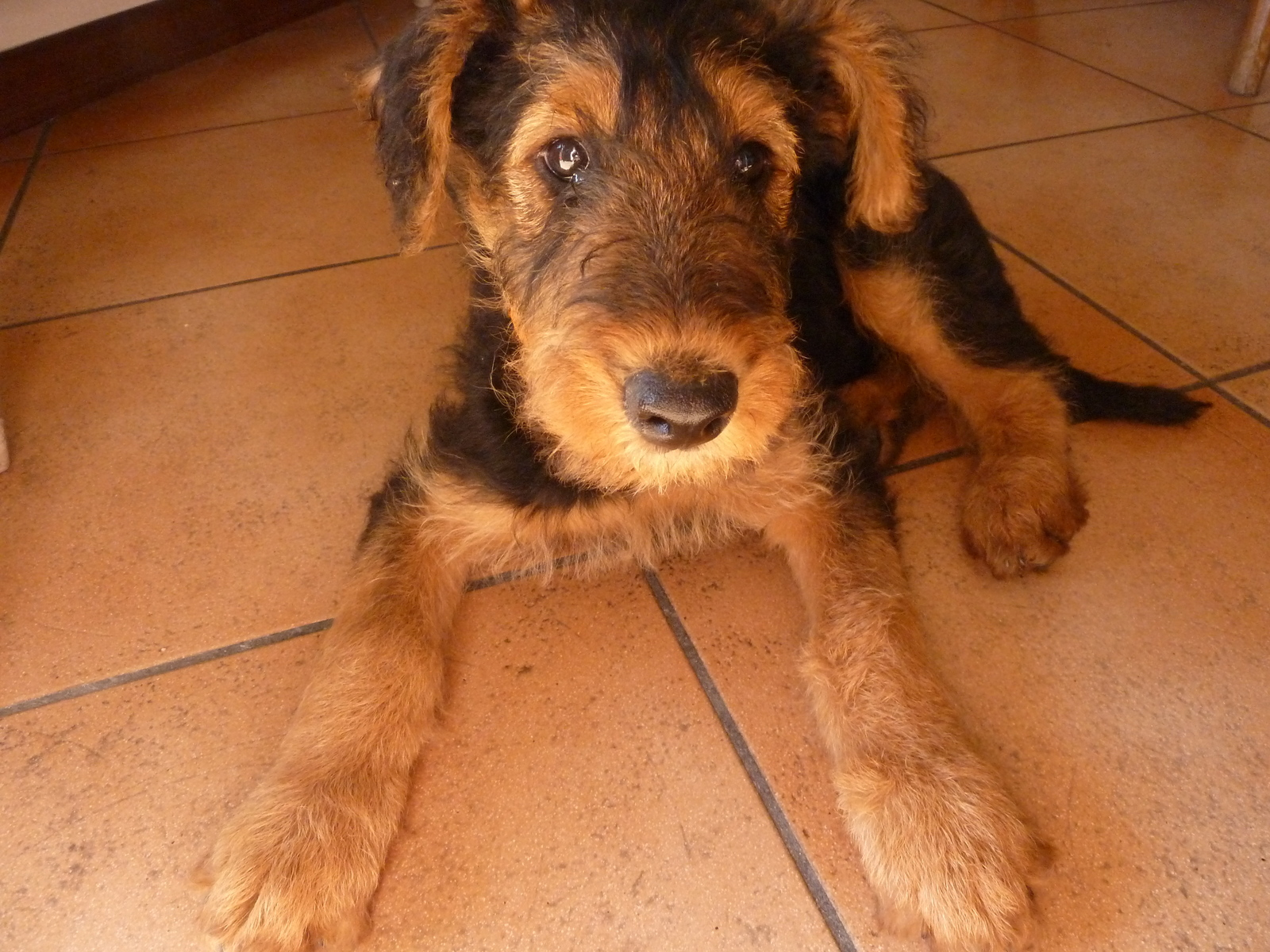 Airedale puppy | by Michael Sorgato