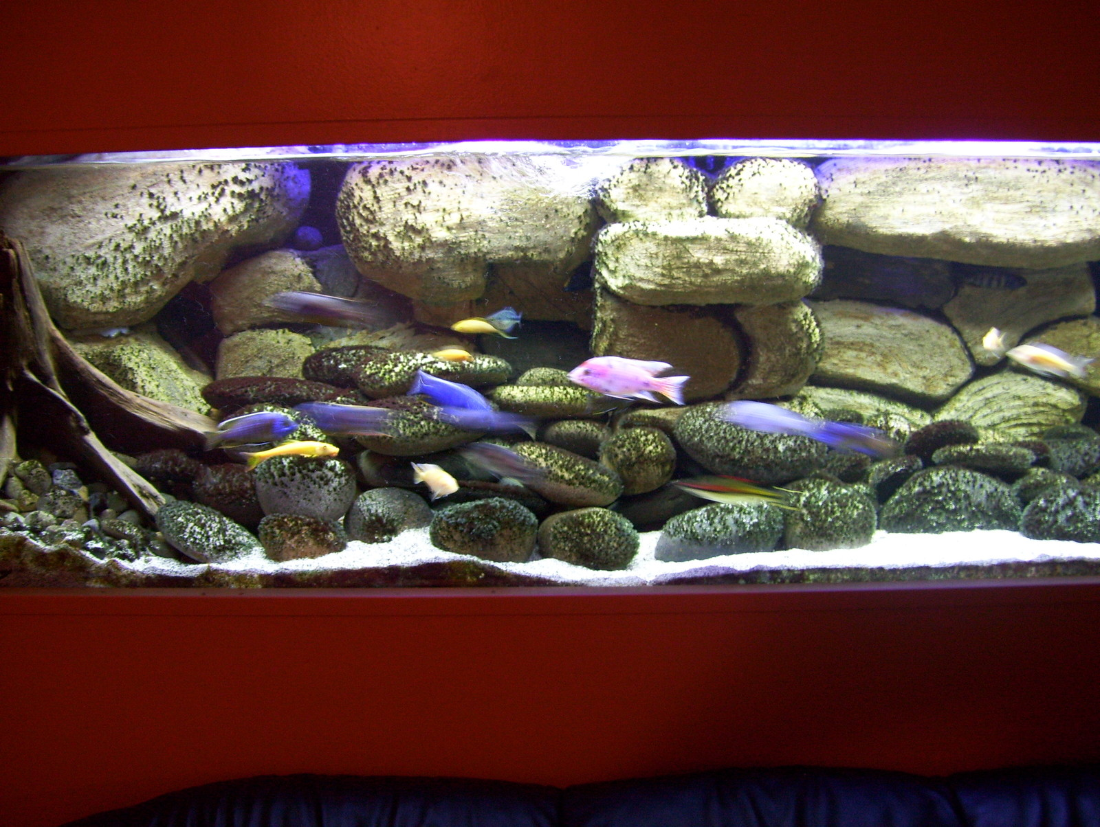 updated picture of my 210 gallon hap/peacock tank