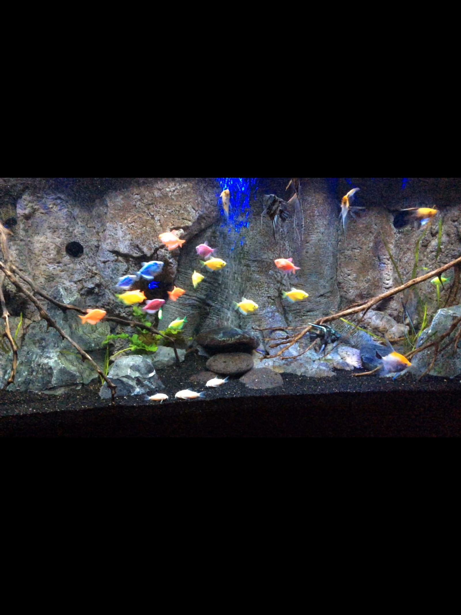 90 gallon Angelfish and glofish tank