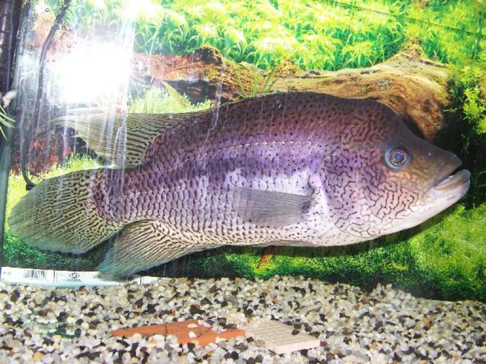 Parachromic Dovii Wolf Cichlid 15 Inch Male By Undefined