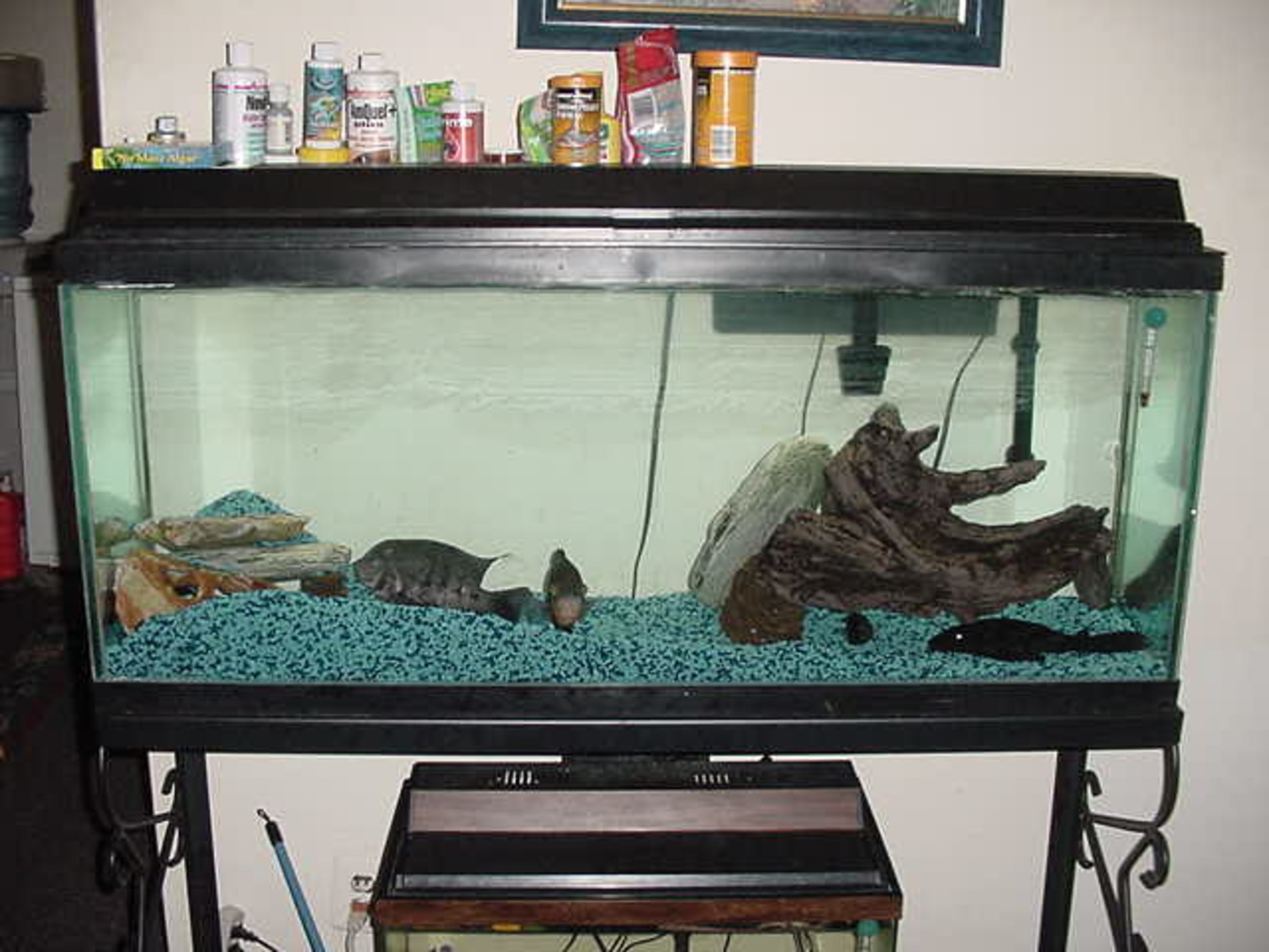55gal with Oscar, Cichlids(2), Plecostimus(algae eater) | by undefined