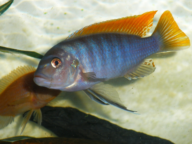 cichlids.com: Pseudotropheus greshakei (ice blue red top)