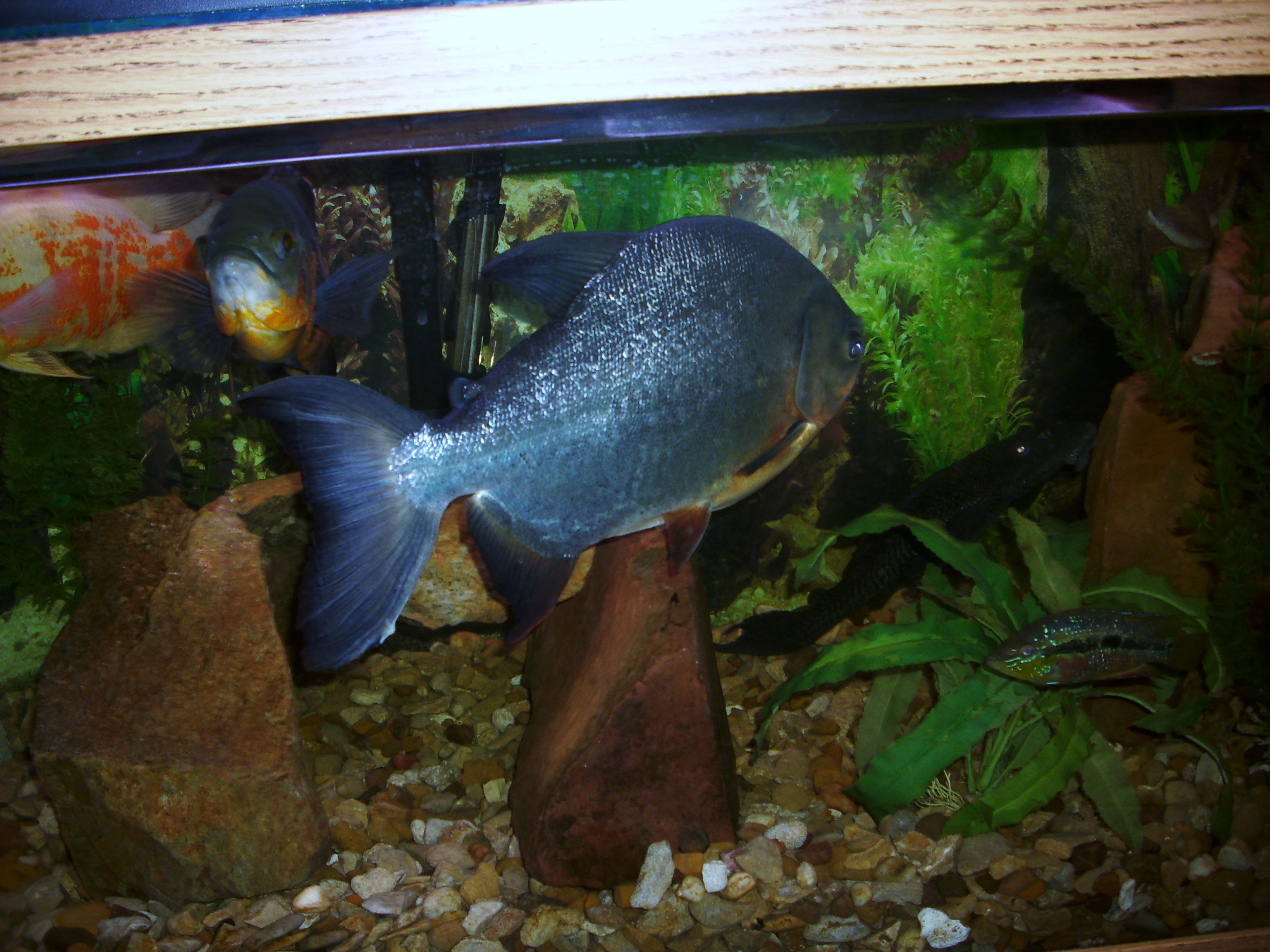 Red-Bellied Pacu : cichlids.com: 19