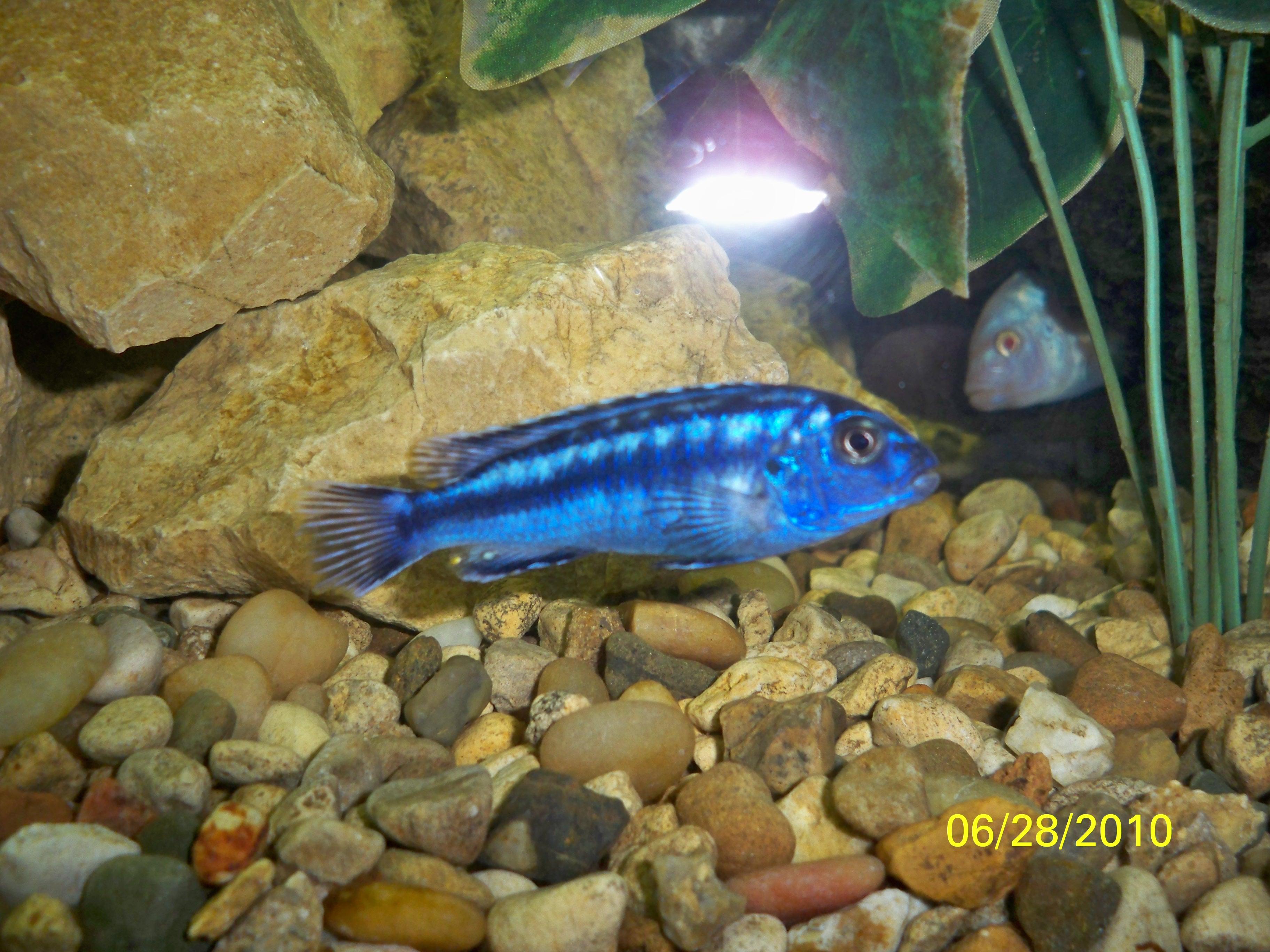 cichlids.com: Electric Blue johanni