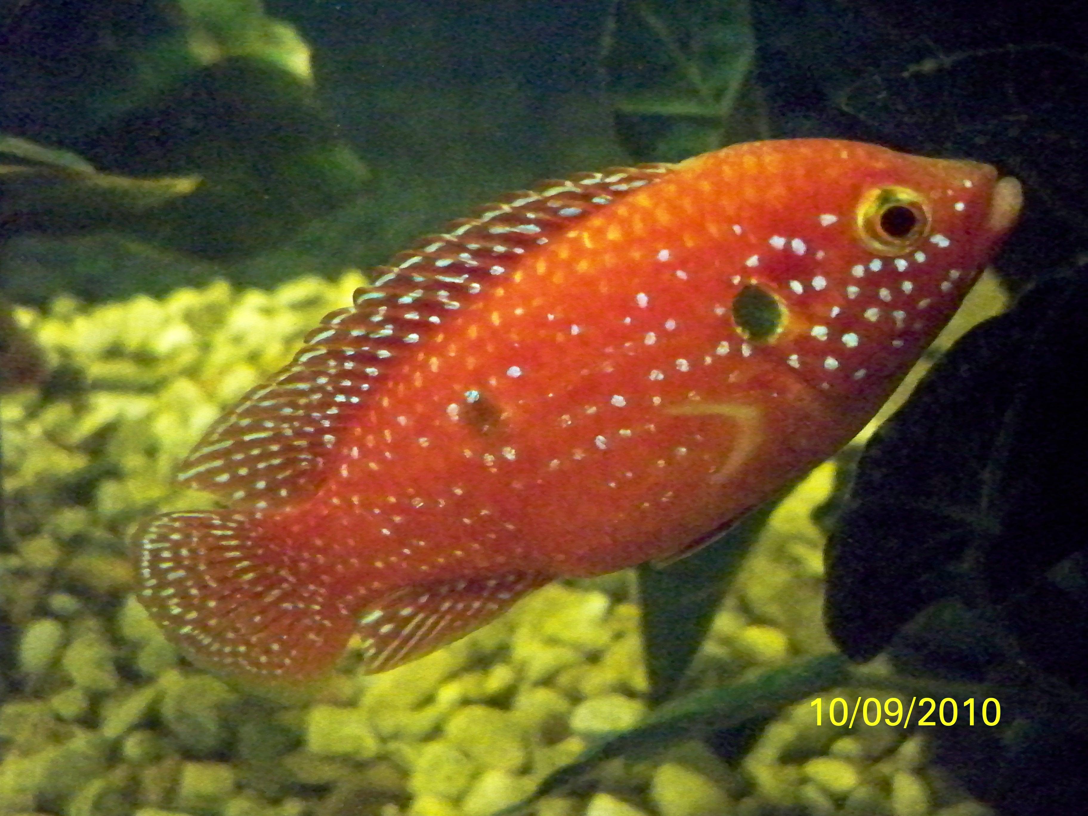 cichlids.com: Here is My Red Jewel (Hemichromis lifalili )