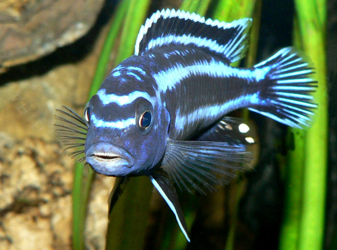 cichlids.com: Melanochromis Johanni Maingano showing its teeth (p ...
