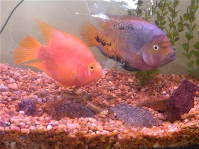 Blood parrot and cichlid unknown to me for Blood parrot fish