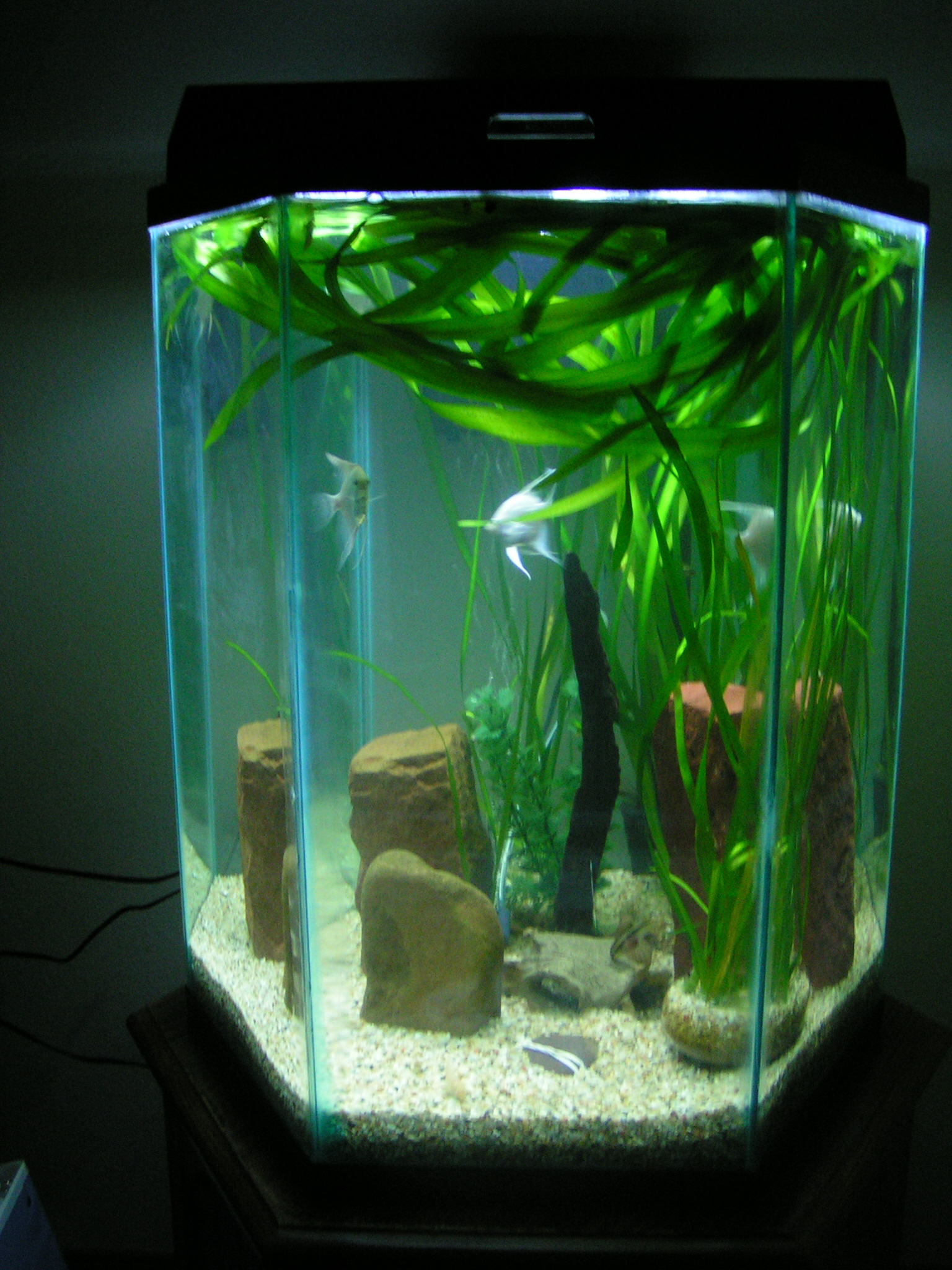 35 gal hex w platinum angels others for 55 gallon hexagon fish tank