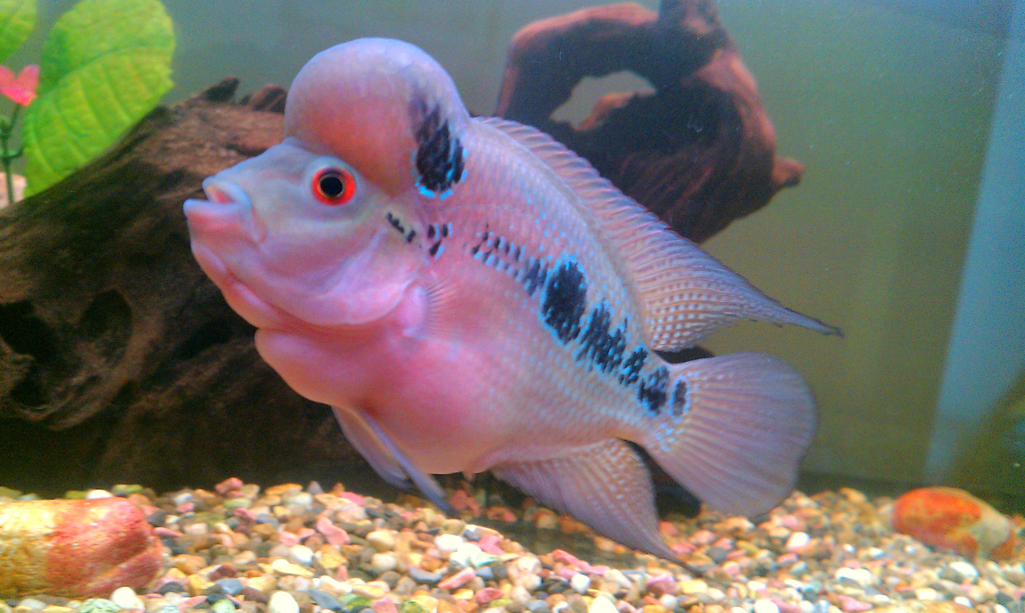 cichlids.com: FLowerhorn