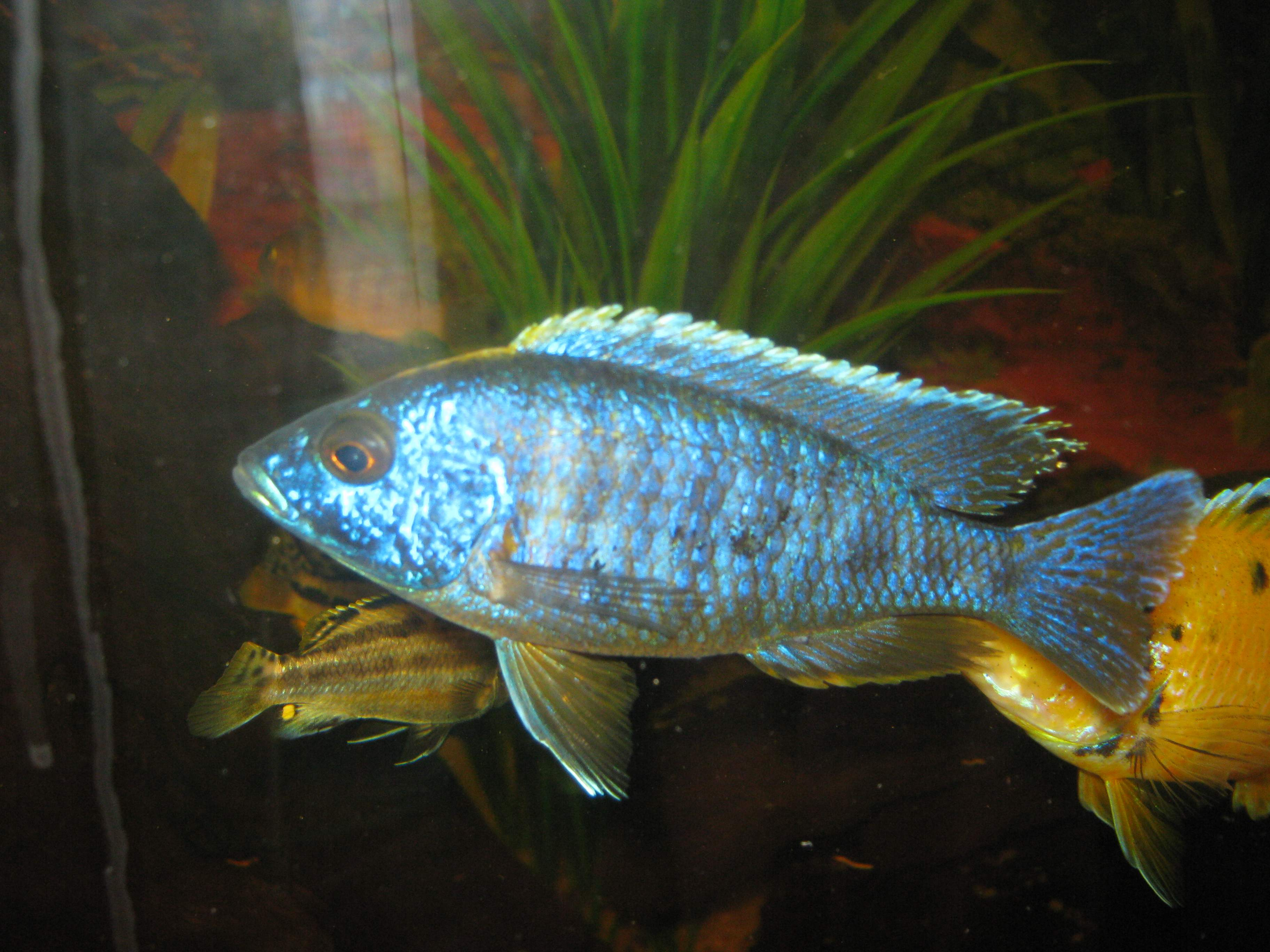 electric blue african cichlid - photo #20