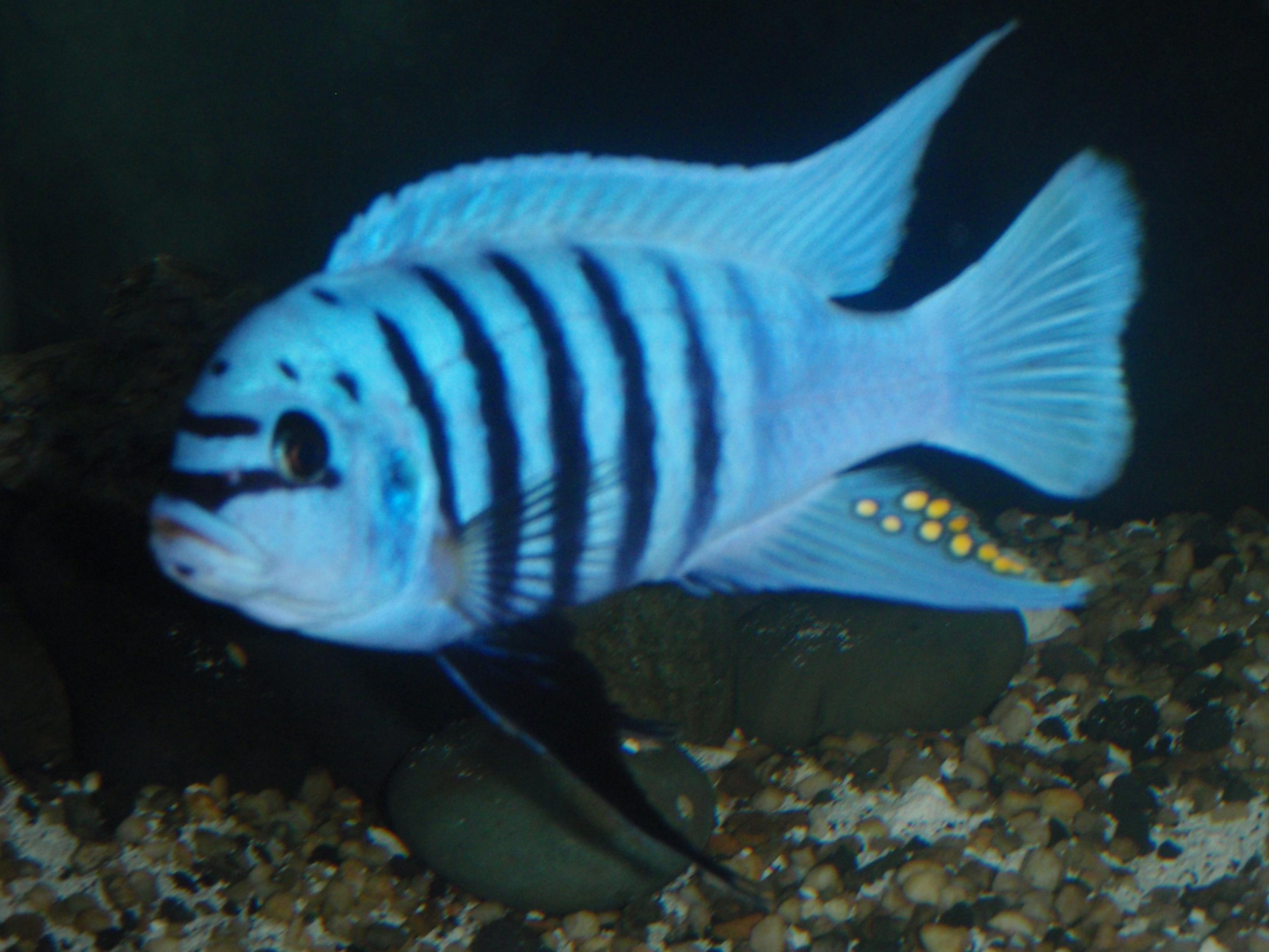 New Maison Reef Breeders