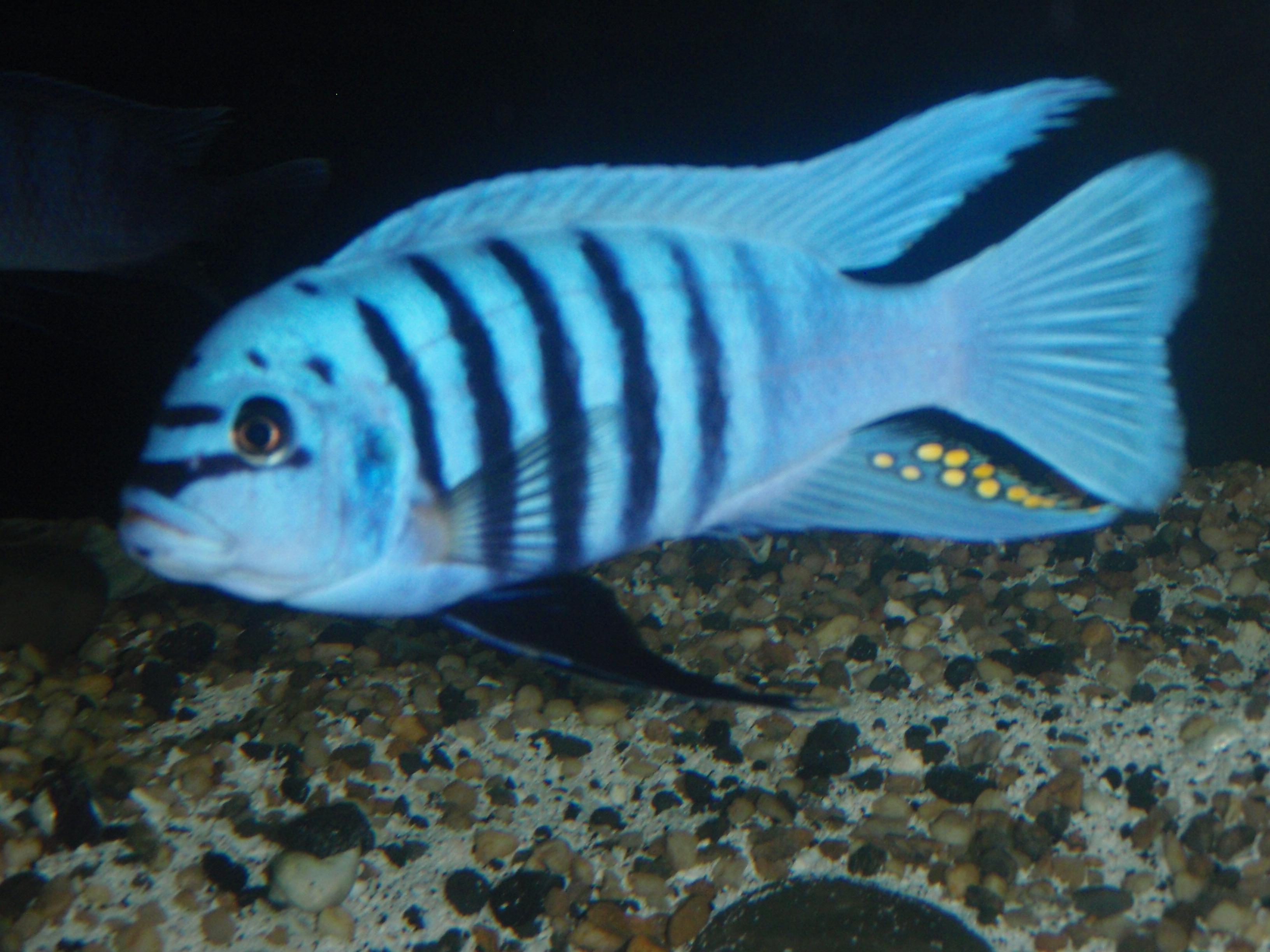 Maison Reef Zebra