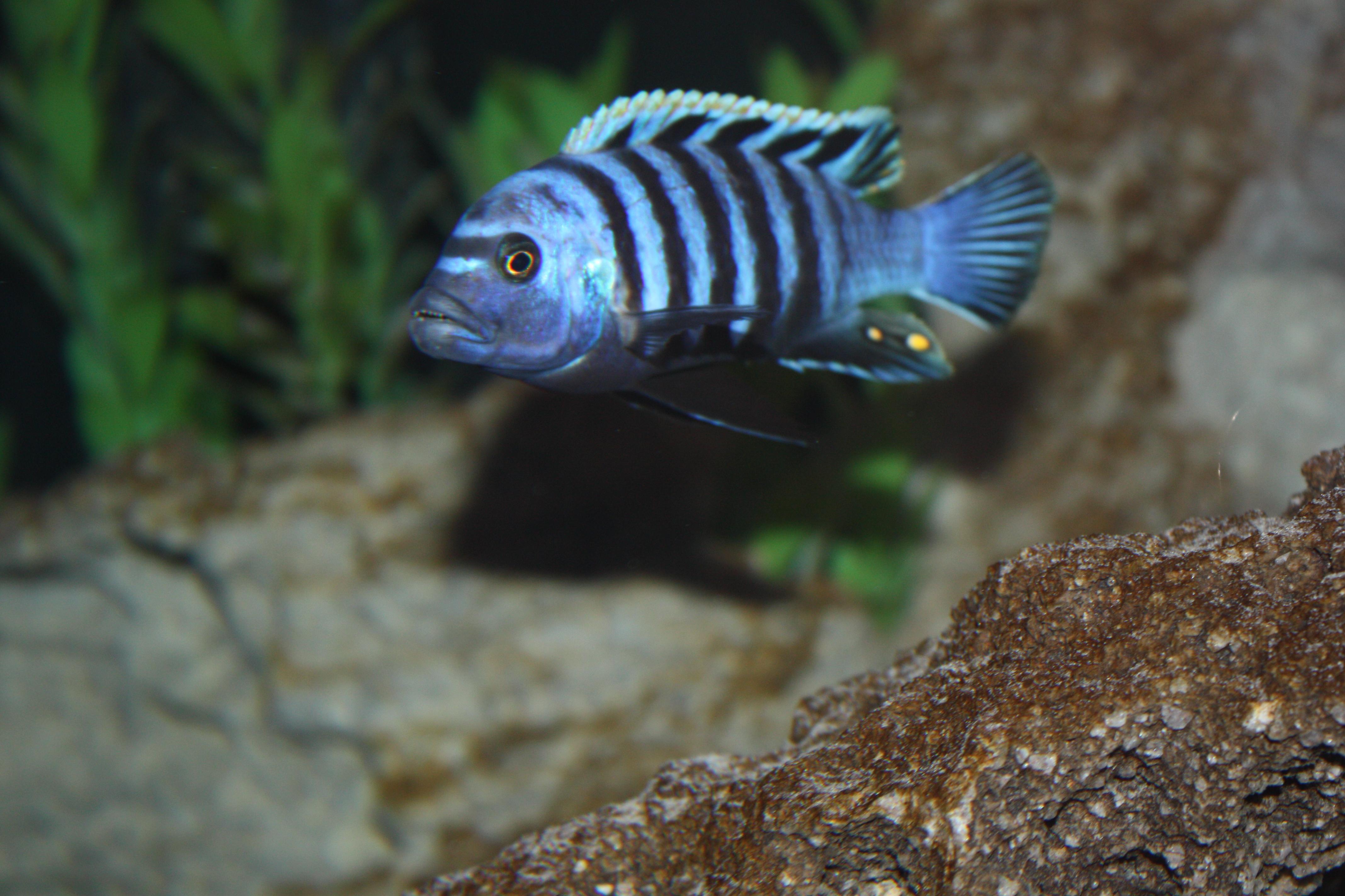 cichlids.com: Purple