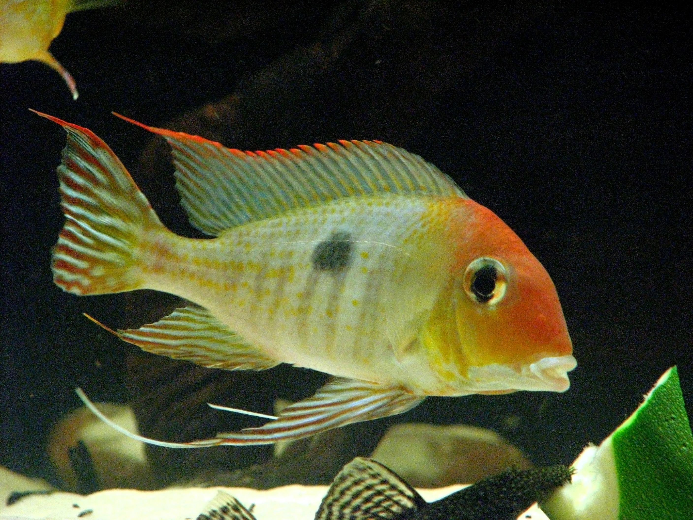 cichlids.com: Geophagus sp Tapajos