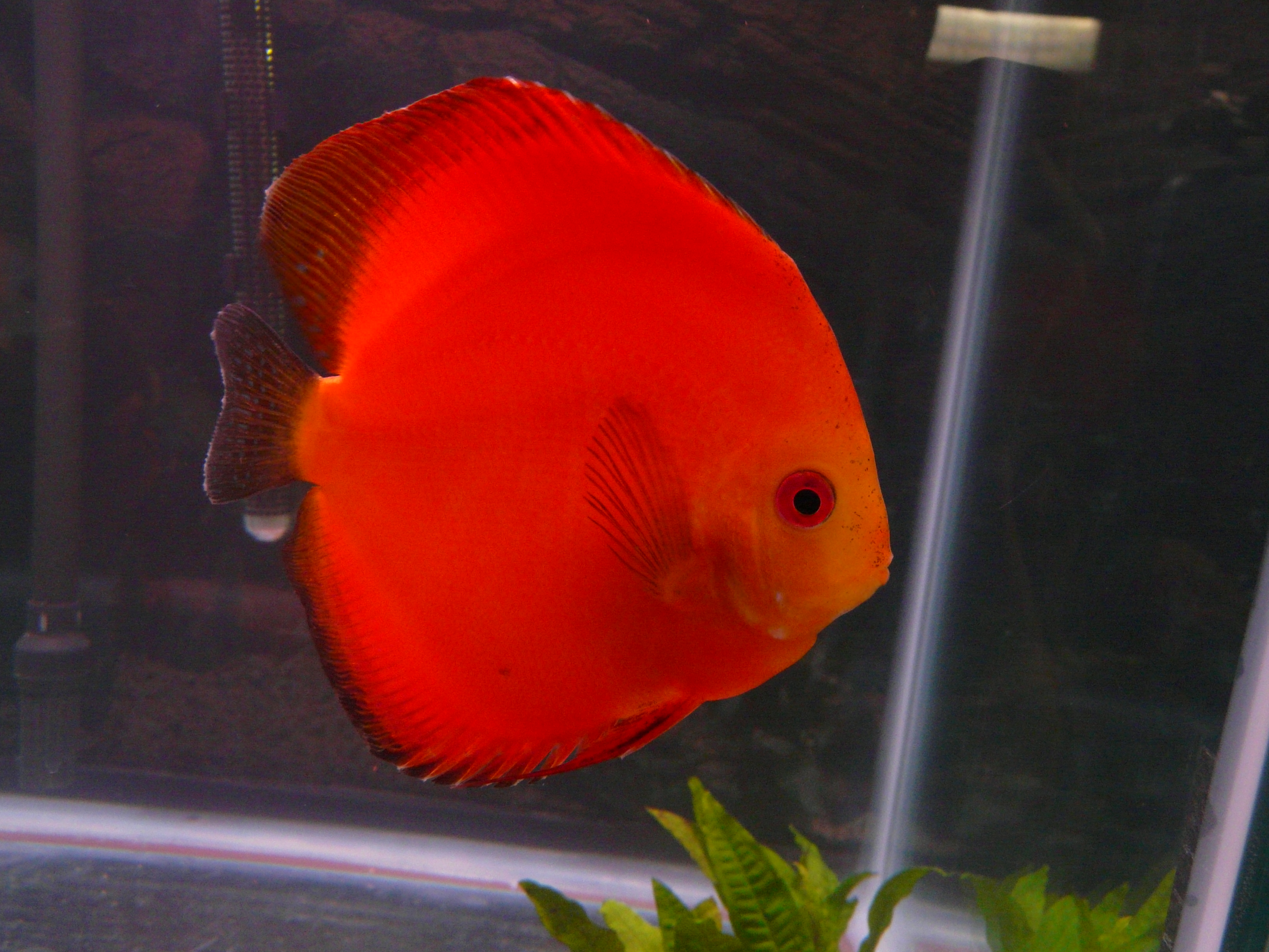Male red melon discus for Large oscar fish for sale