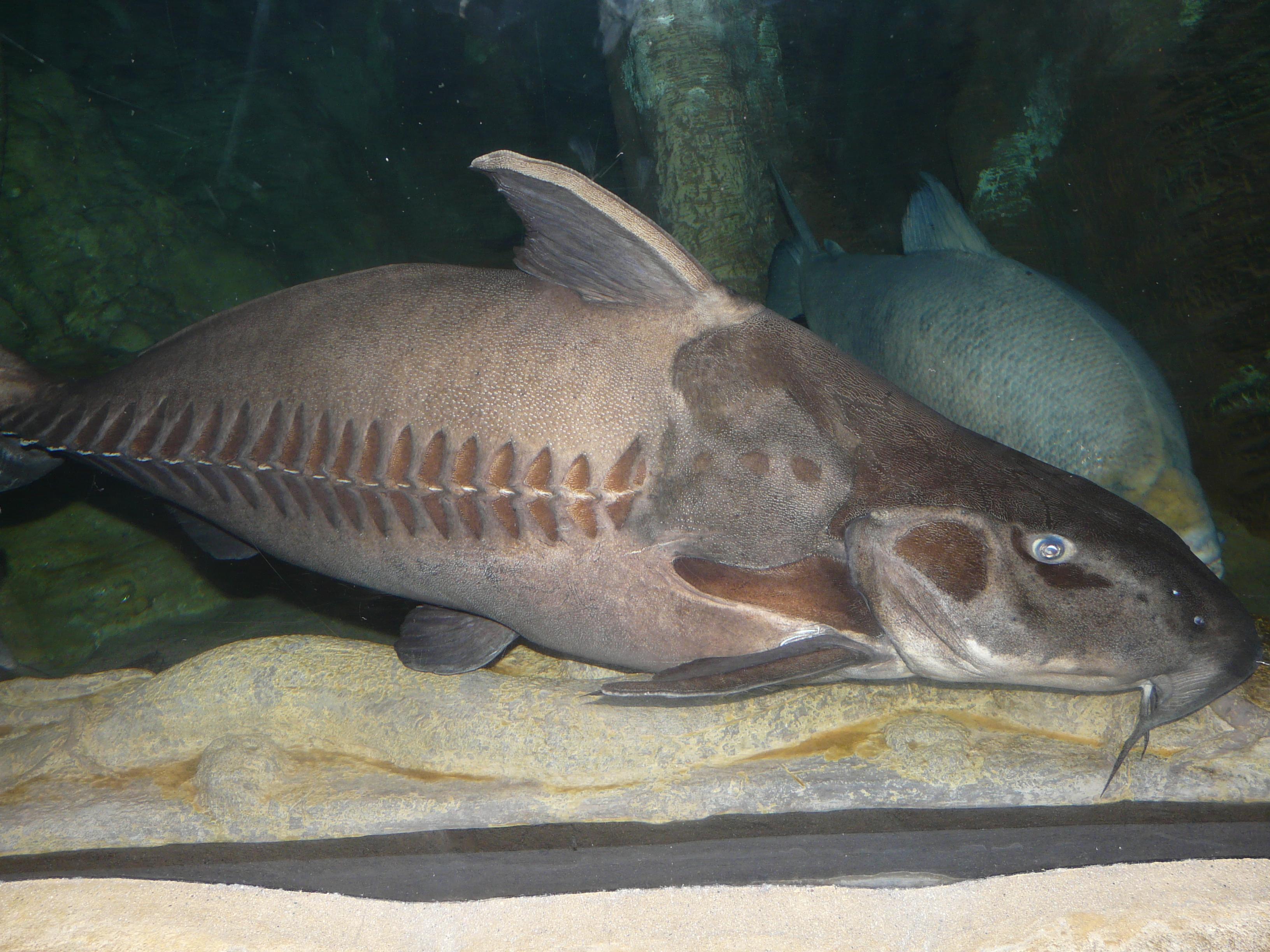 Catfish tank catfish tank farming 2017 fish tank for Large freshwater fish