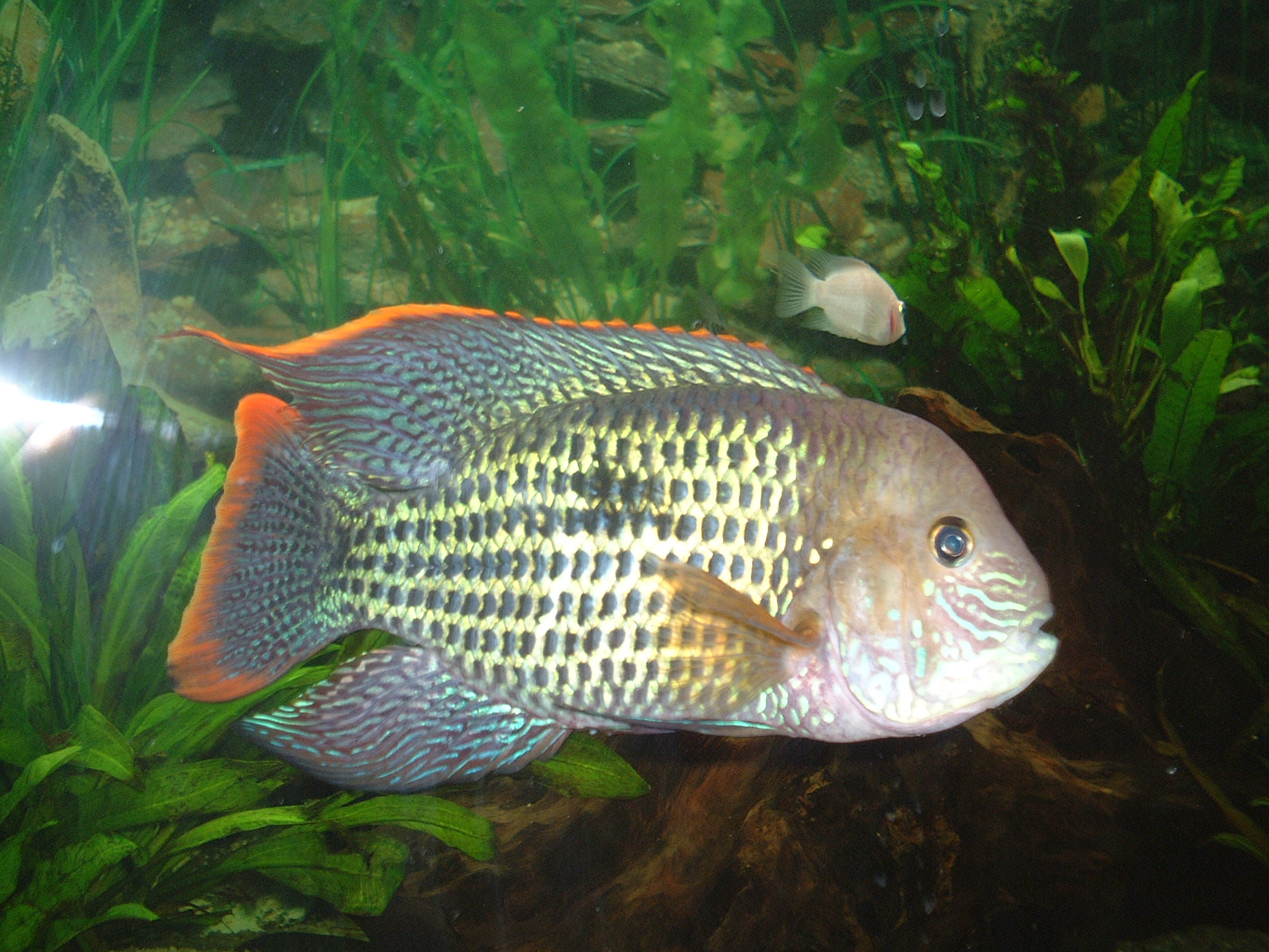 cichlids.com: Male green terror