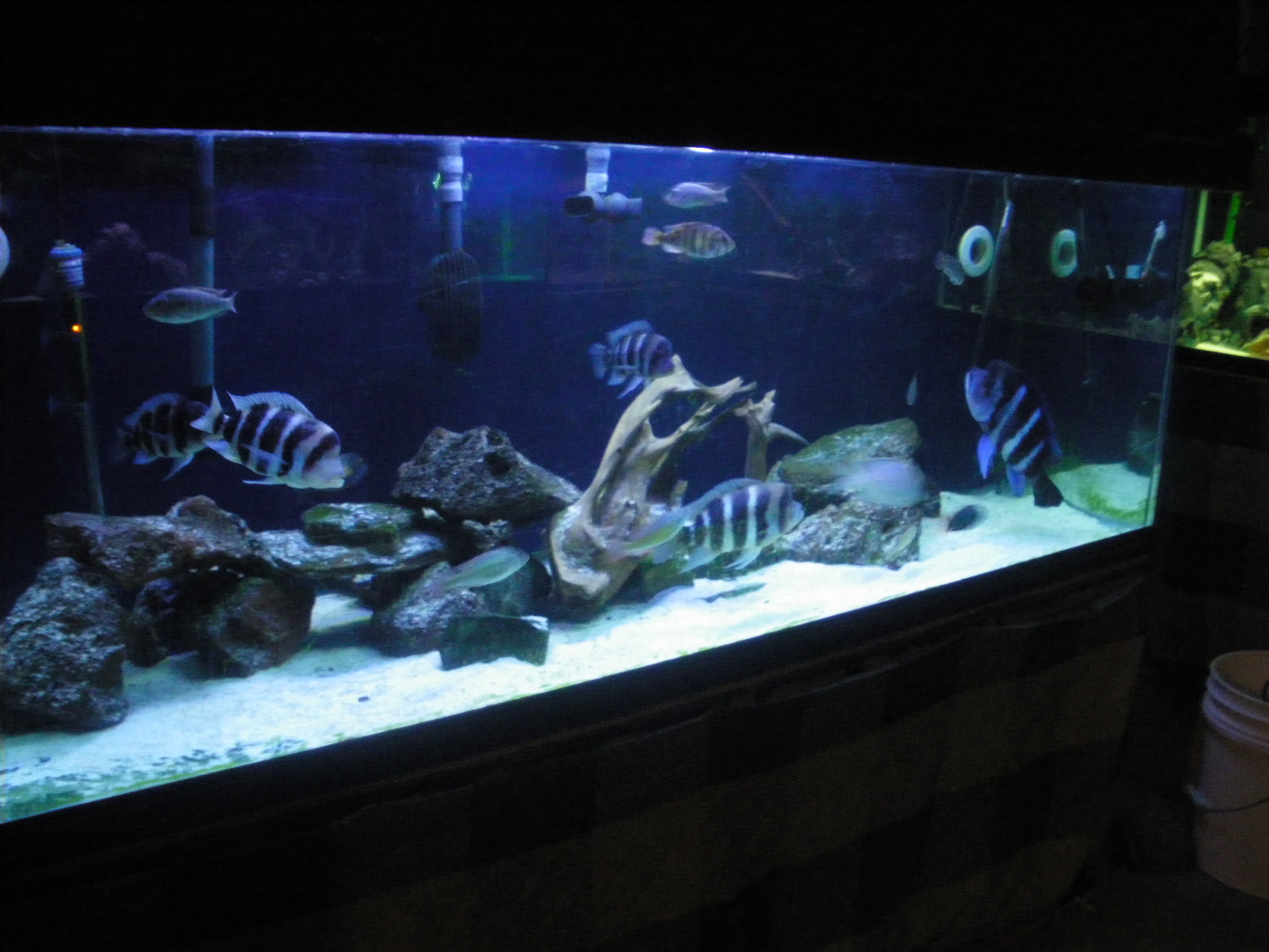 Pin frontosa cichlid aquarium care diet sexing breeding on for Fish tank care