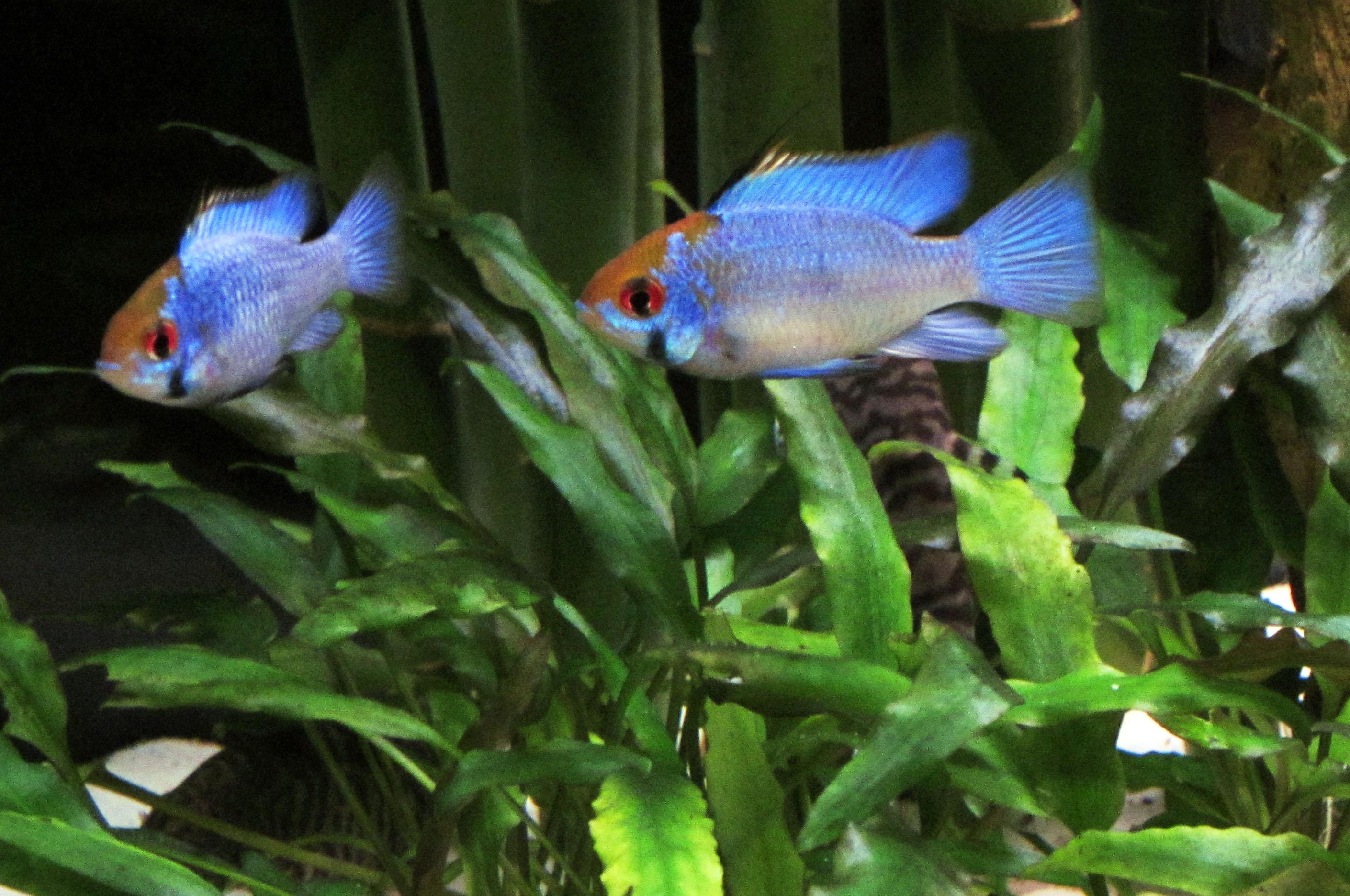 Cichlids Com Electric Blue Ram