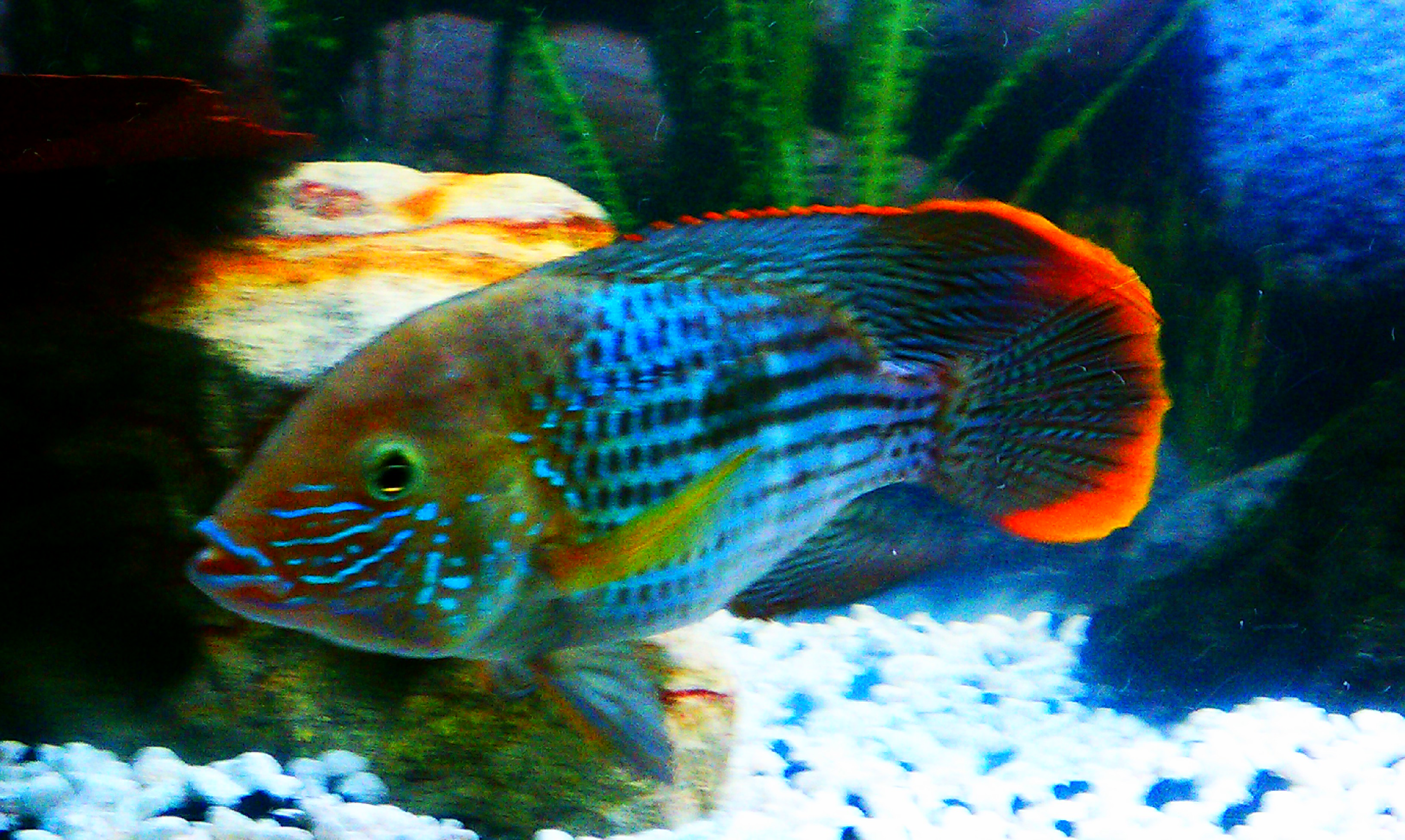 Green Terror Cichlid Related Keywords & Suggestions - Green Terror ...