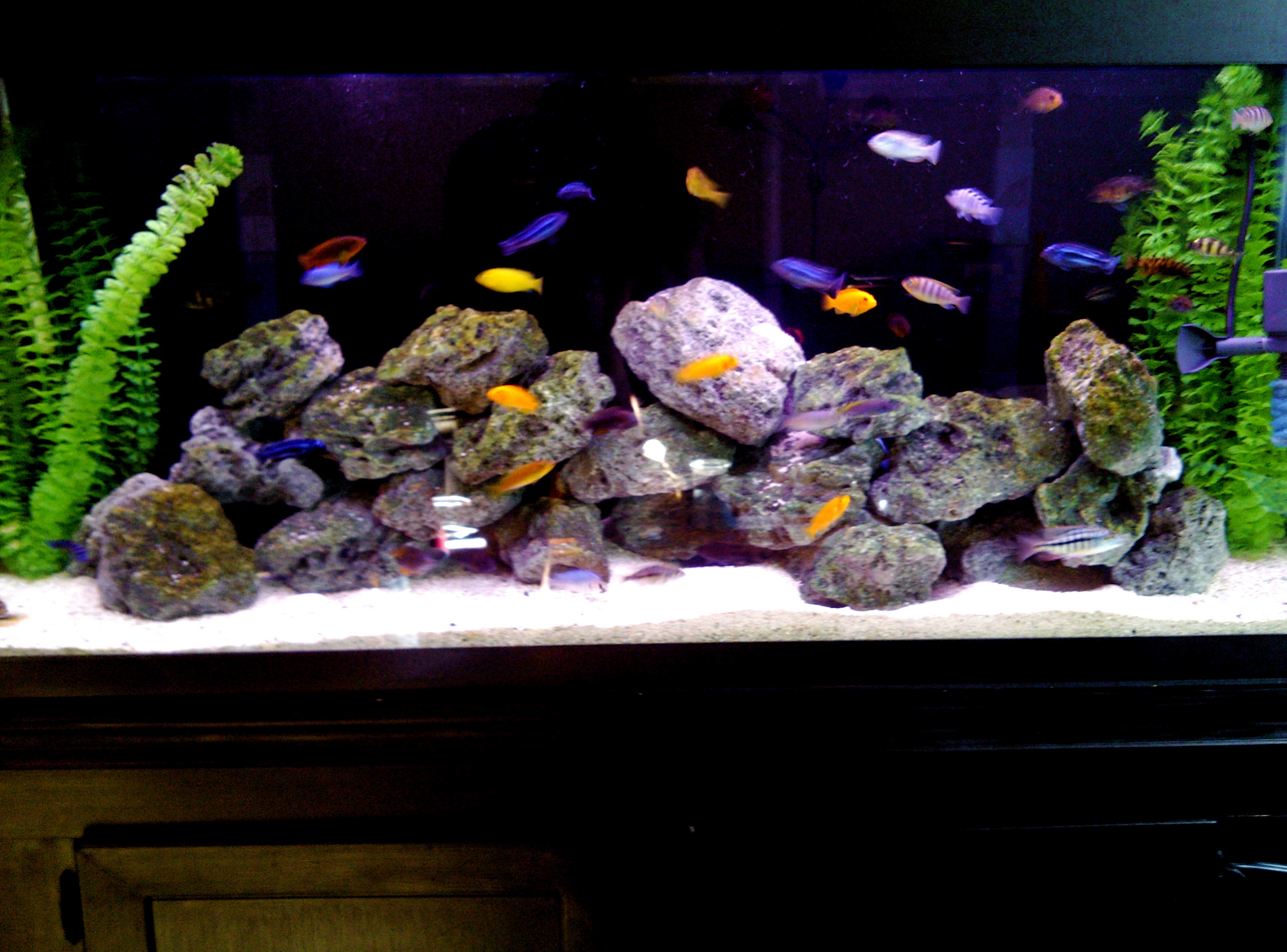 Viewtopic besides Underwater galleries besides Cichlids Fish further 55 gallon african cichlids 2 also Reducing Aggression In The Cichlid Aquarium. on oscar cichlid tank setup