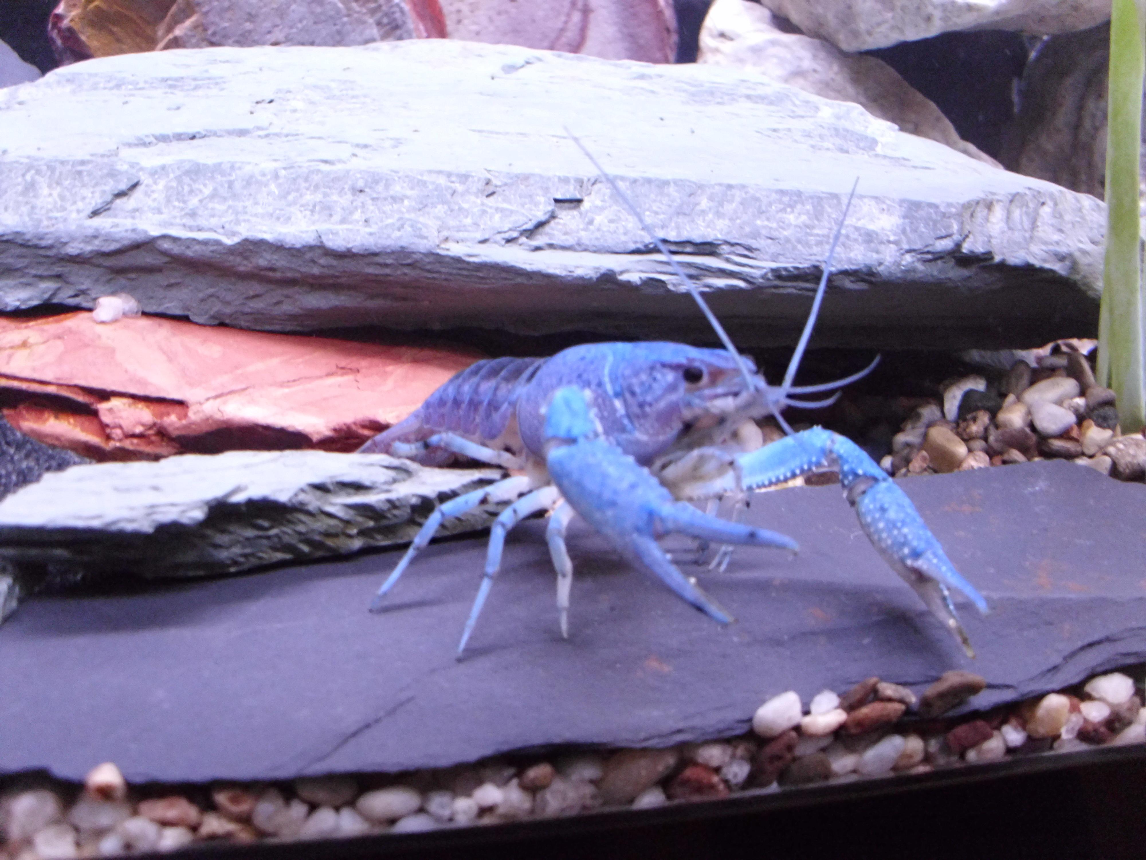 cichlids.com: blue lobster