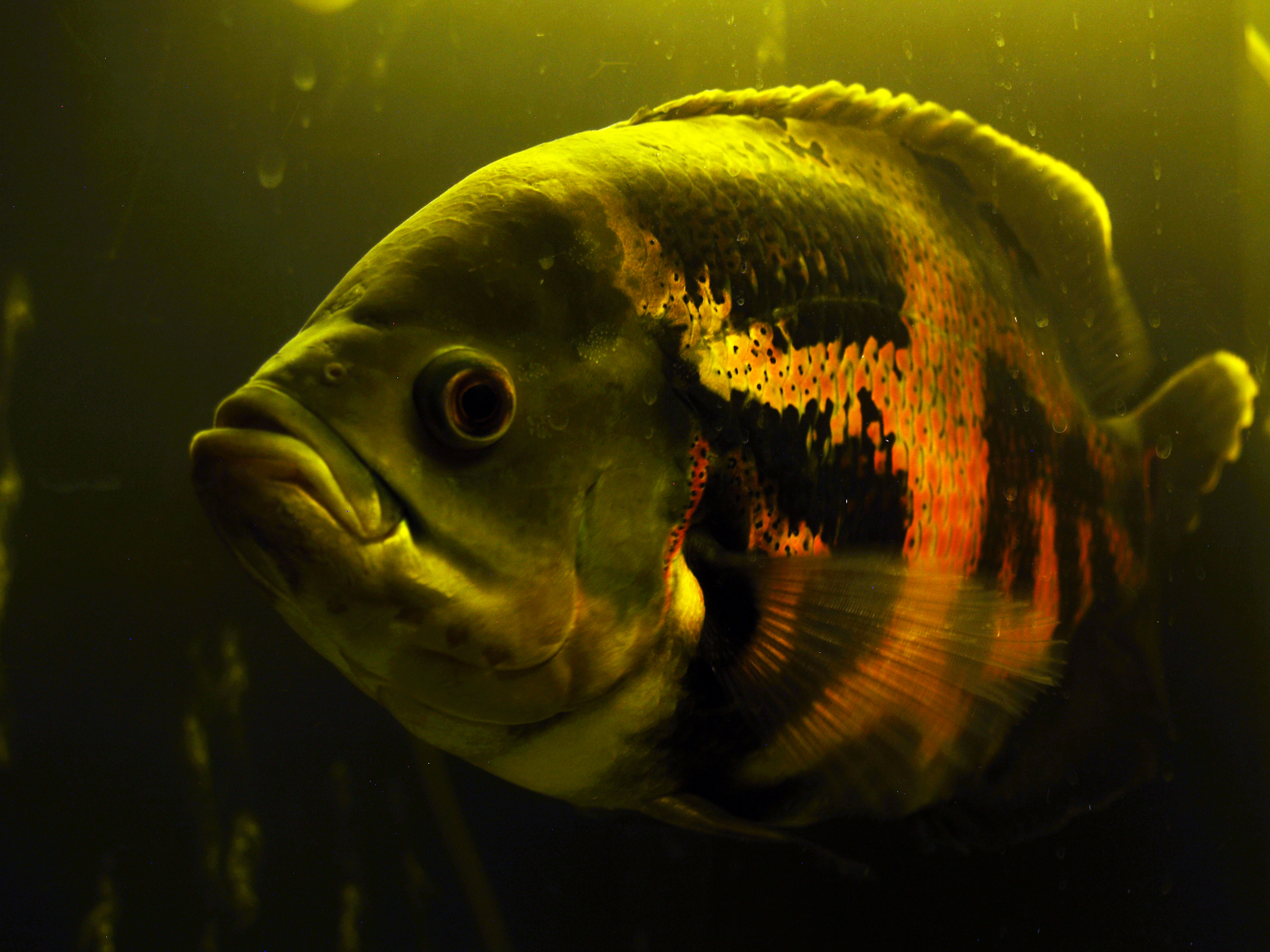 65 Fish Aquarium Jaffna moreover Fashion Backstage Make Up At Atelier Versace Fall 2016 Couture furthermore Acara Severumsevero besides Channel Islands Sportfishing Whopper Of The Week 06 14 2015 likewise Jack dempsey 9ef69a50c7. on oscar fish big
