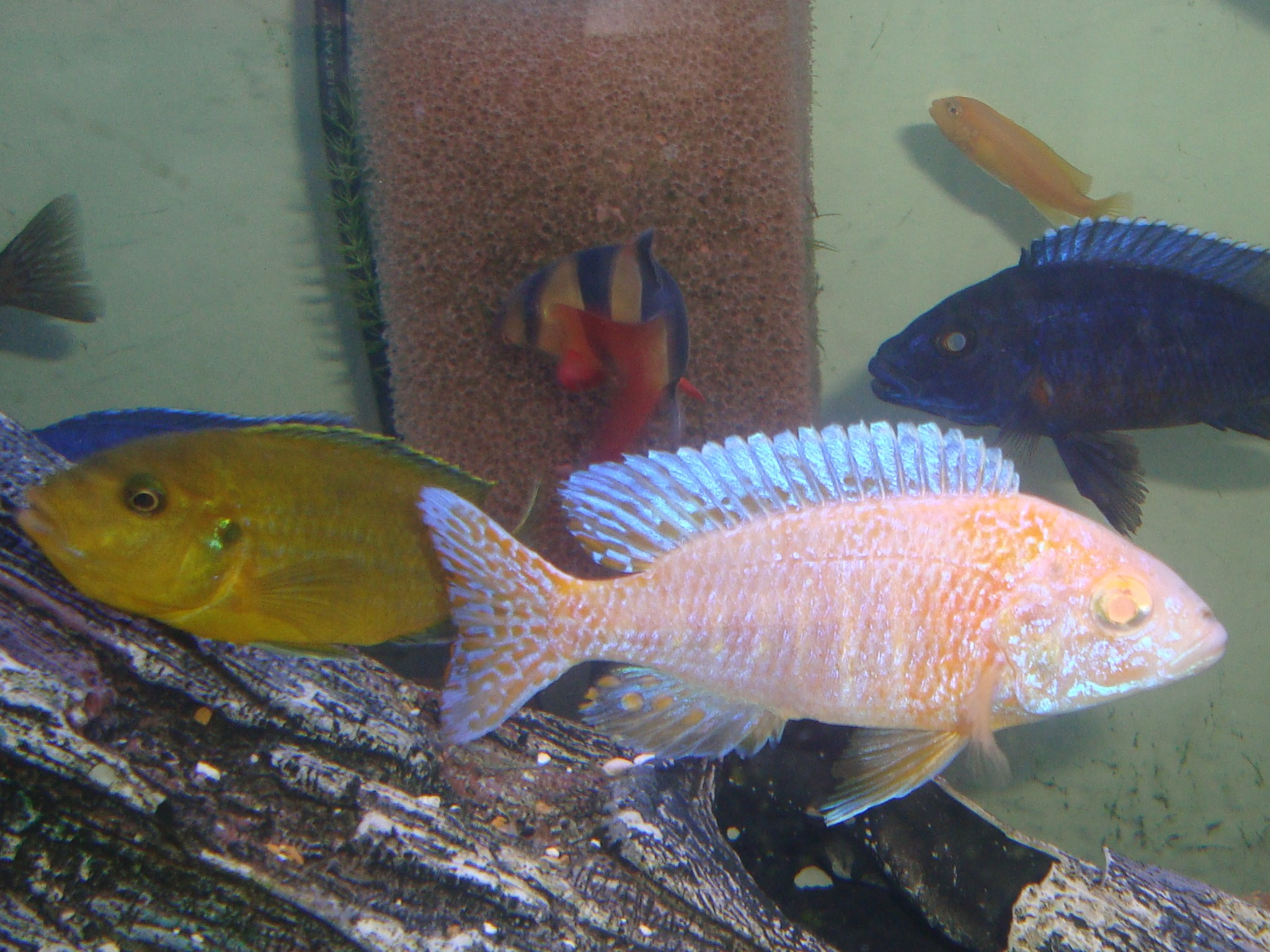 cichlids.com: Yellow Lab holding and Golden red eye ...