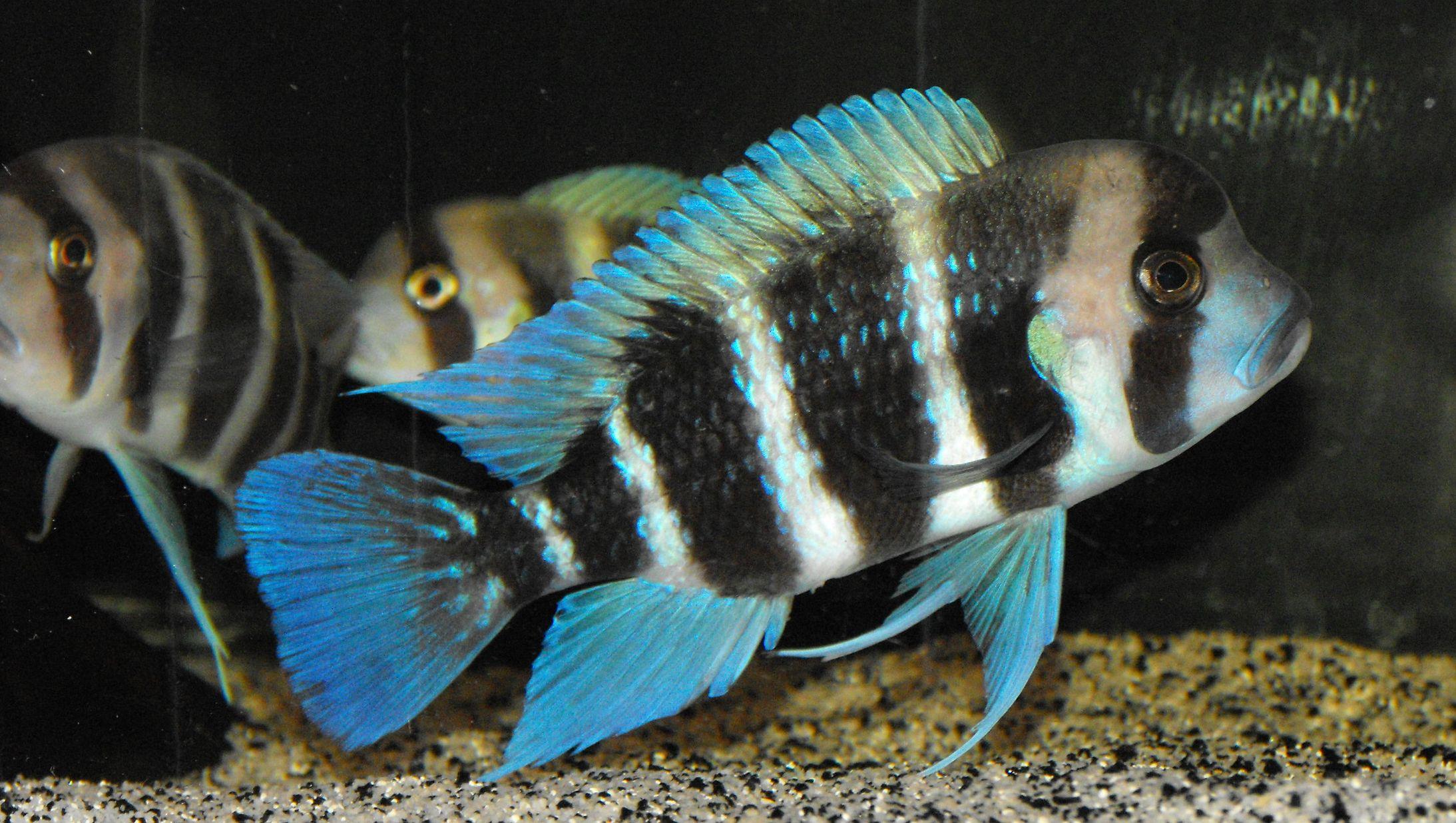 cichlids.com: Frontosa