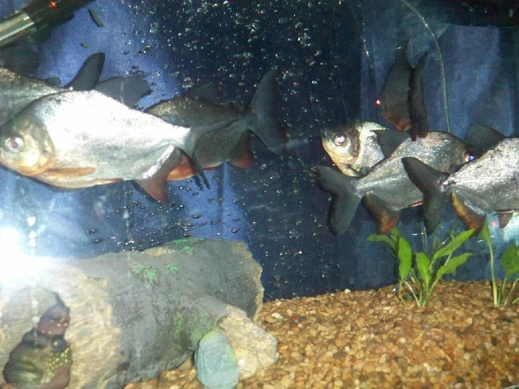 cichlids.com: Red Belly Pacu