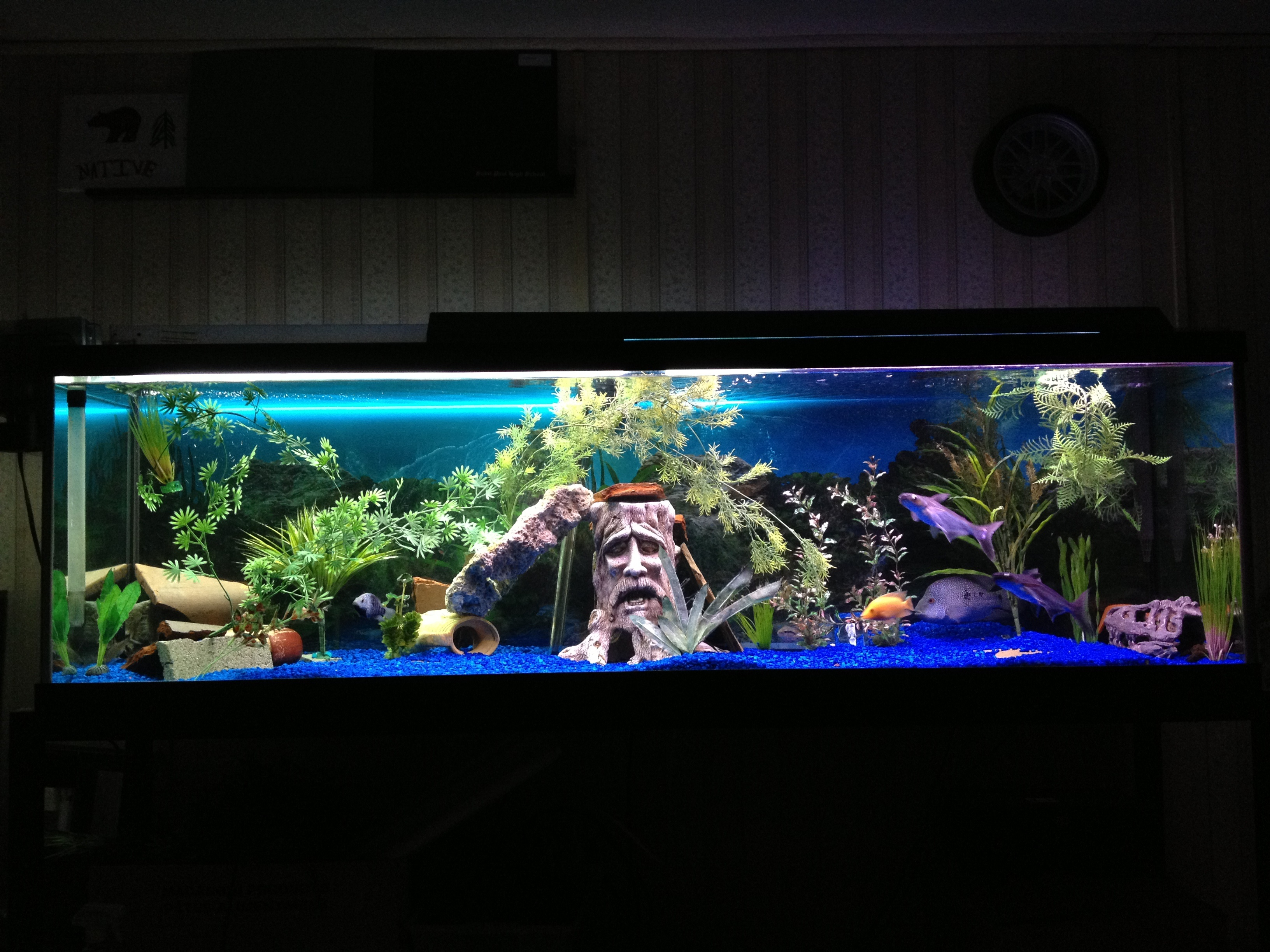 Cichlidscom 125 gallon long saltwater green spotted puffer for 125 gallon fish tank for sale