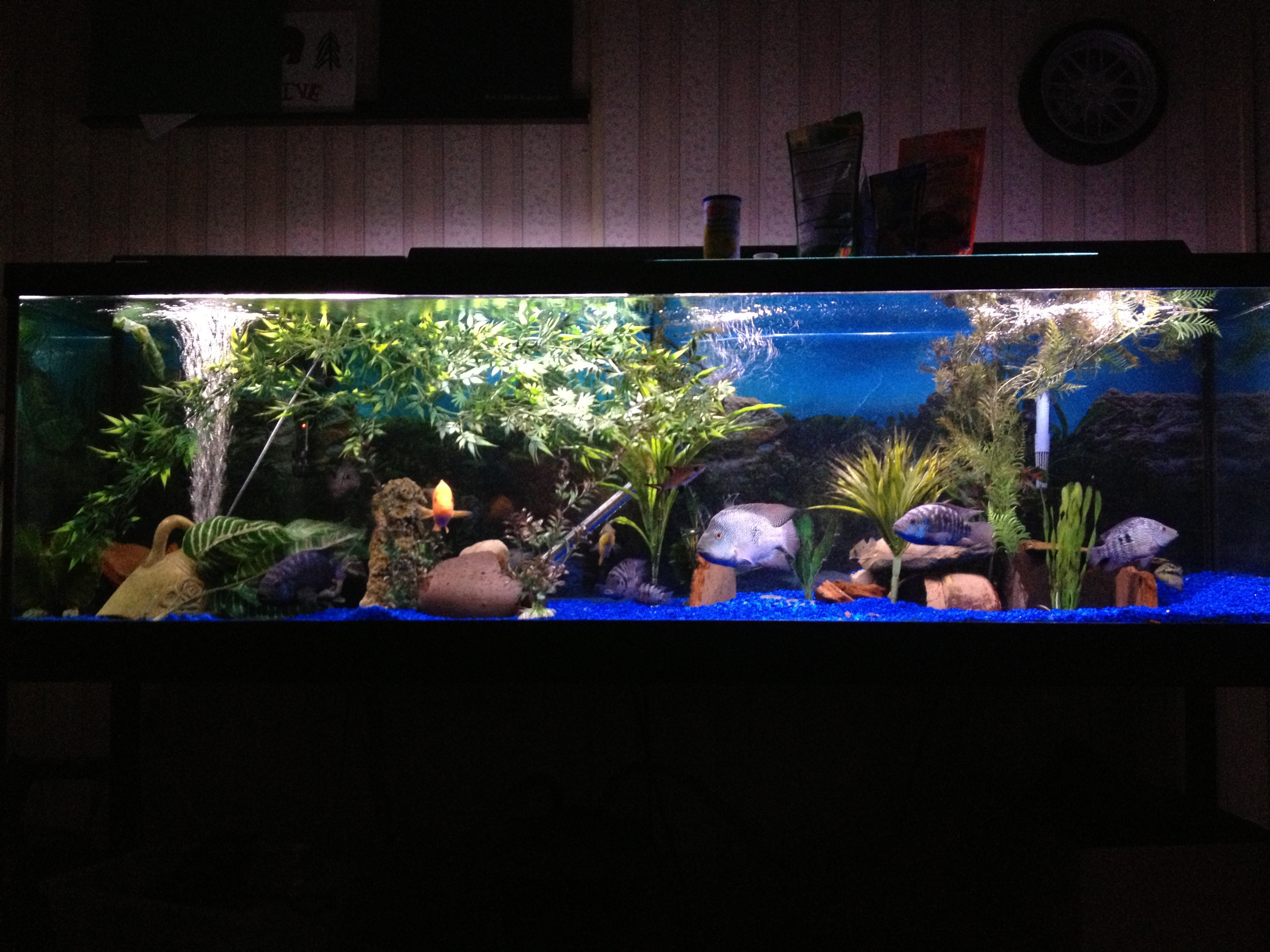 Alimentacao in addition 501447739730975488 likewise Oscar Fish Pictures moreover 125 Gallon Aquarium 1 besides Watch. on oscar fish big