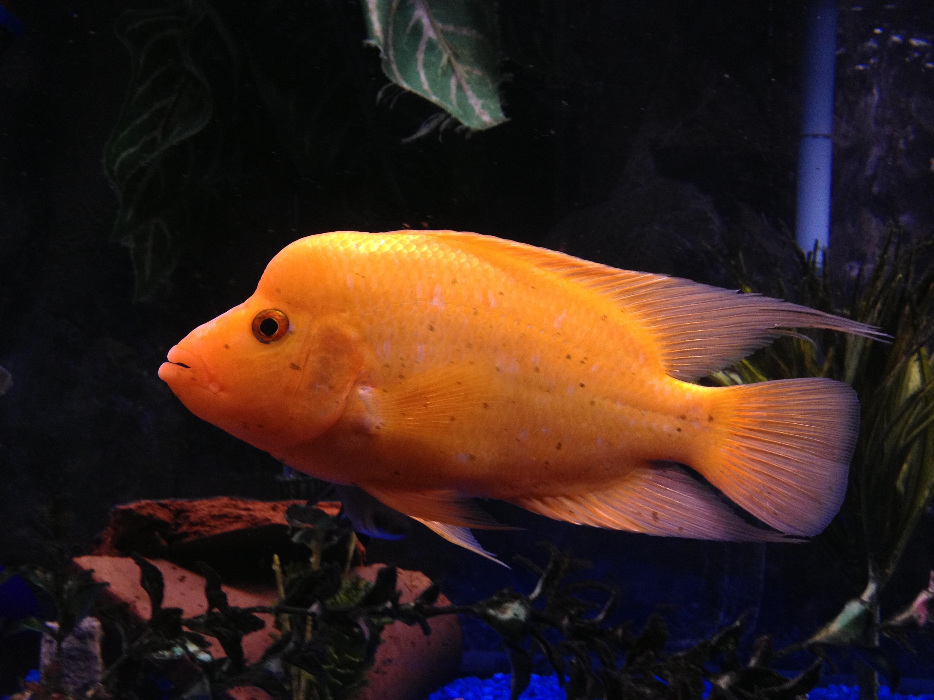 Male red devil cichlid for Red devil fish