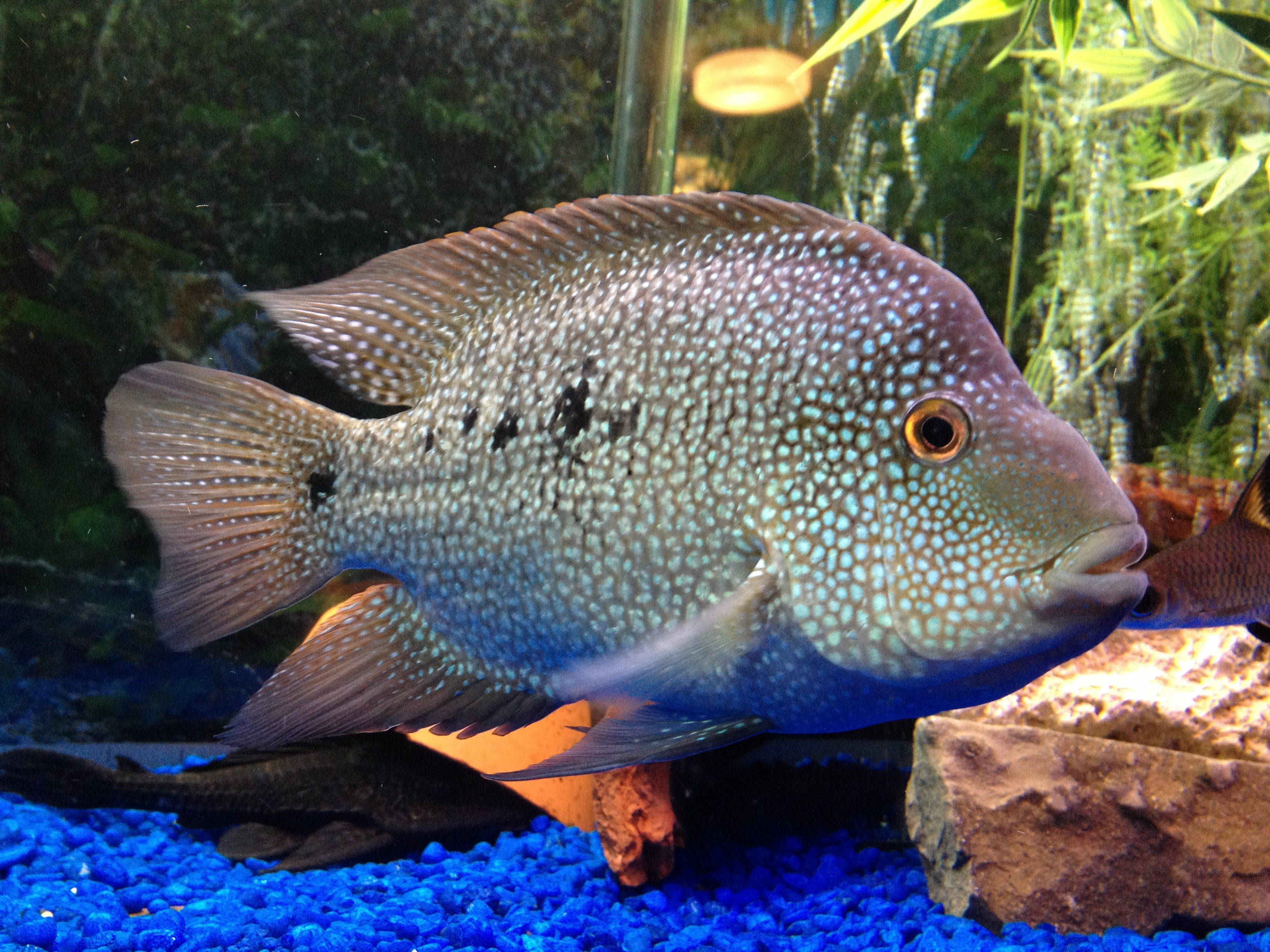 Cichlids and heroes on pinterest for Freshwater fish in texas