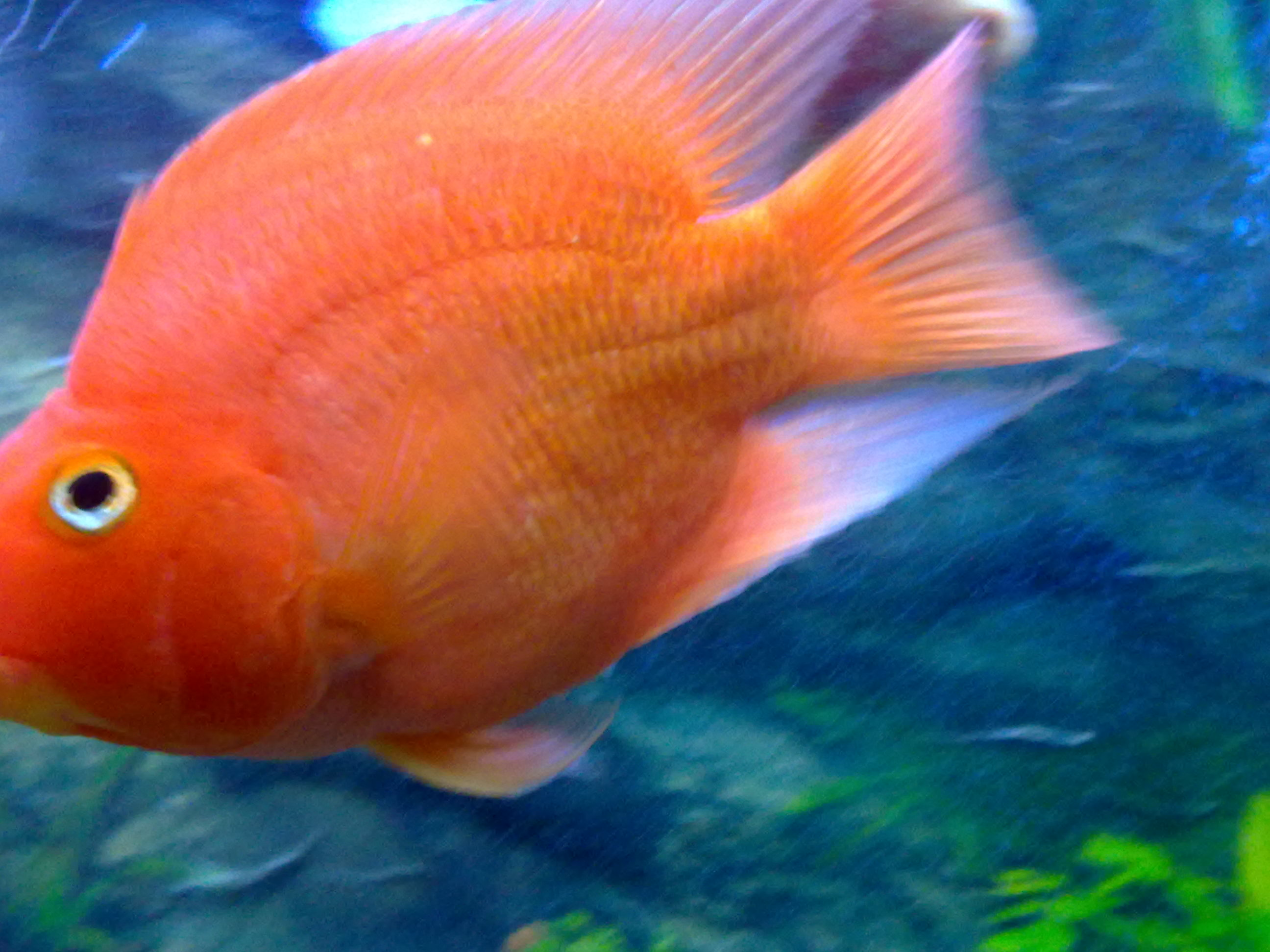 Blood Parrot Cichlid : bloody parrot