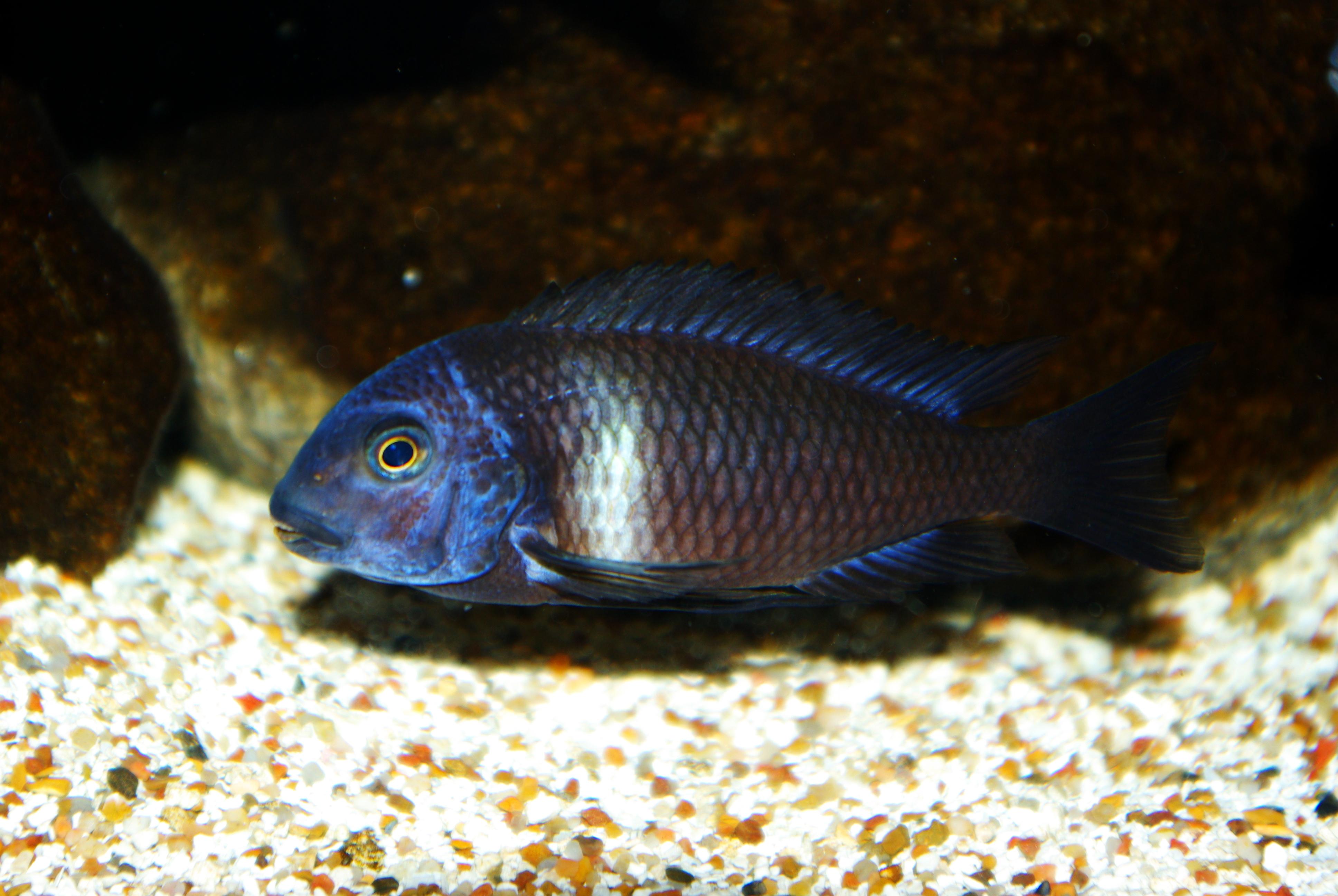 cichlids.com: Tropheus Duboisi