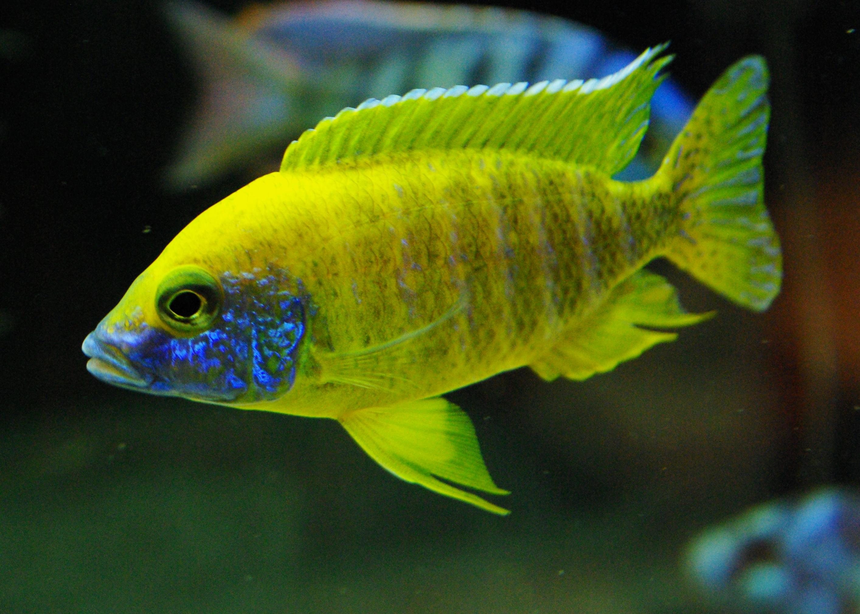Sunshine Peacock Cichlid : cichlids.com: Benga Sunshine