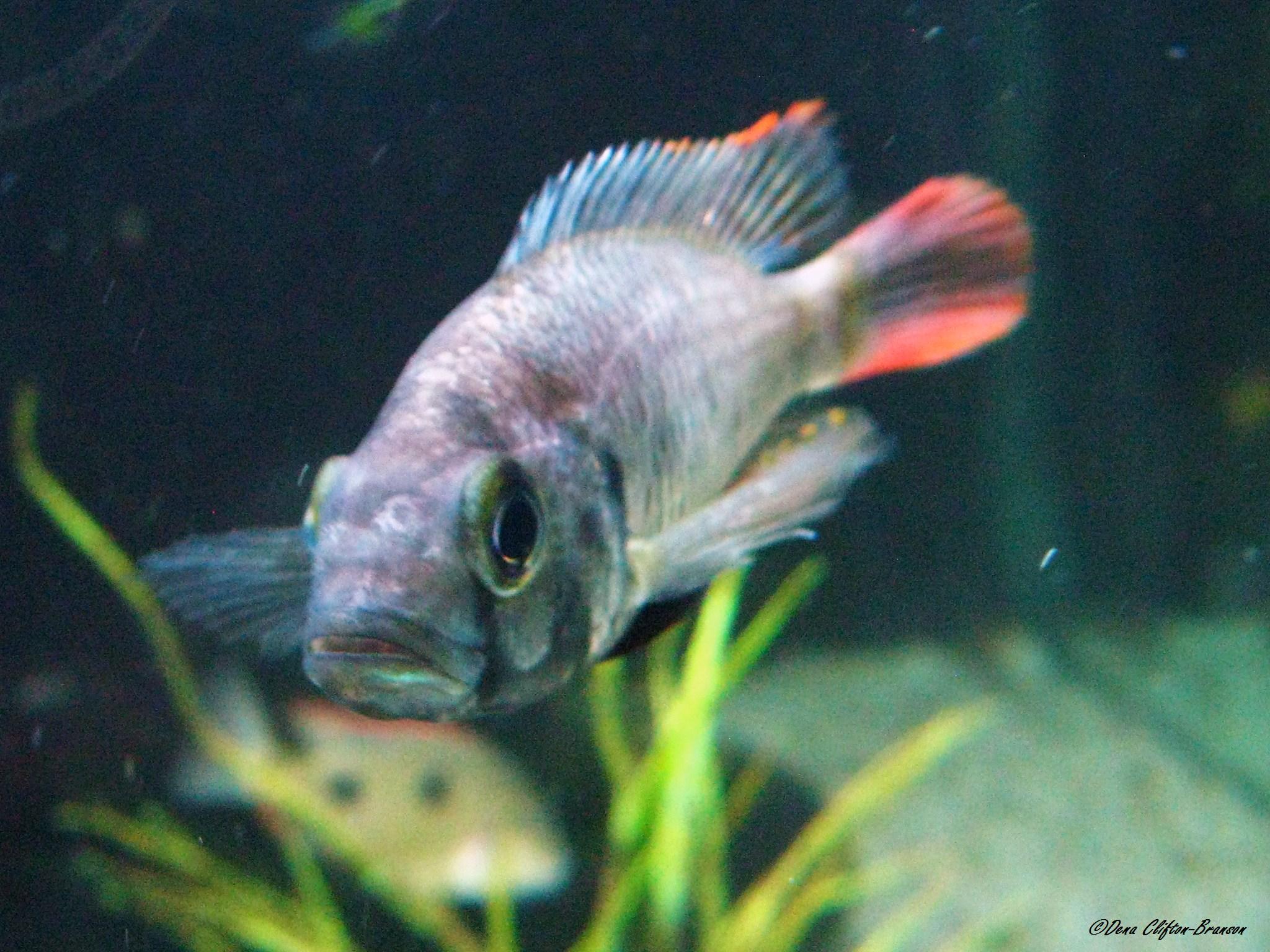 cichlids.com: Haplochromis sp.