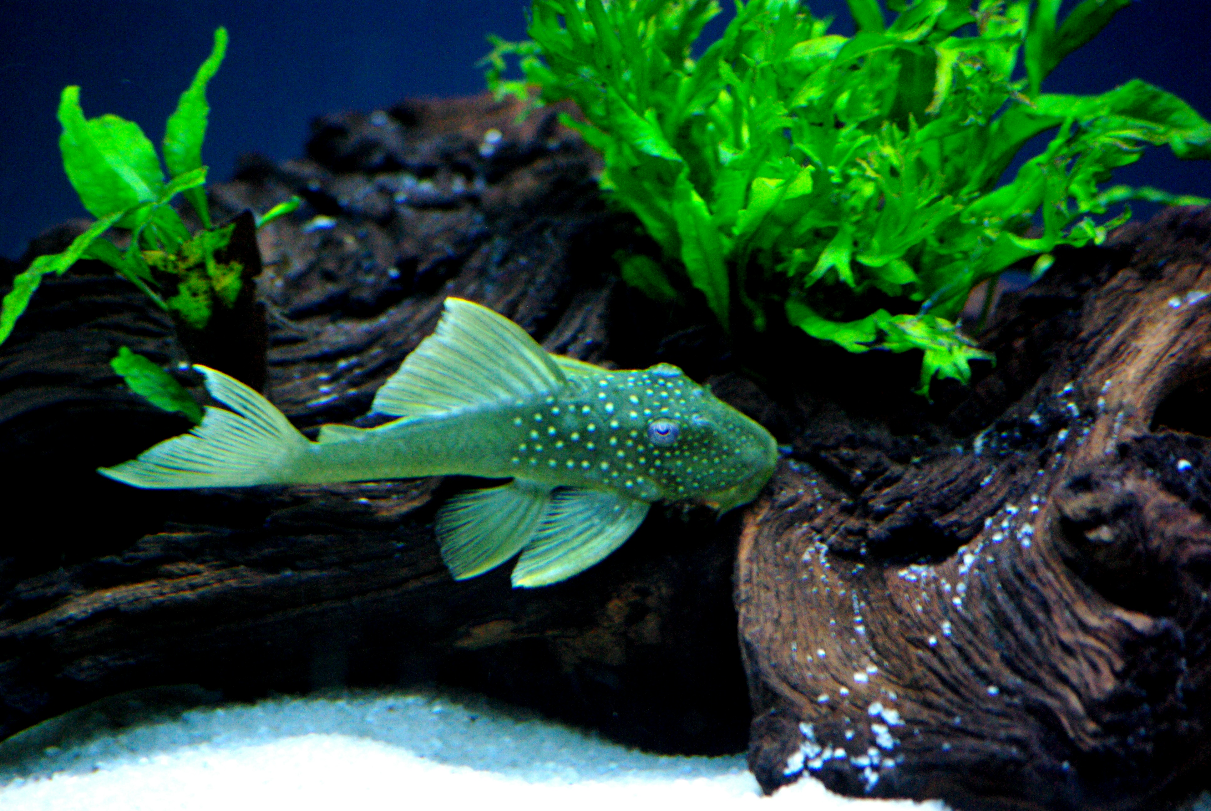 New l200 pleco for Cool fish for sale