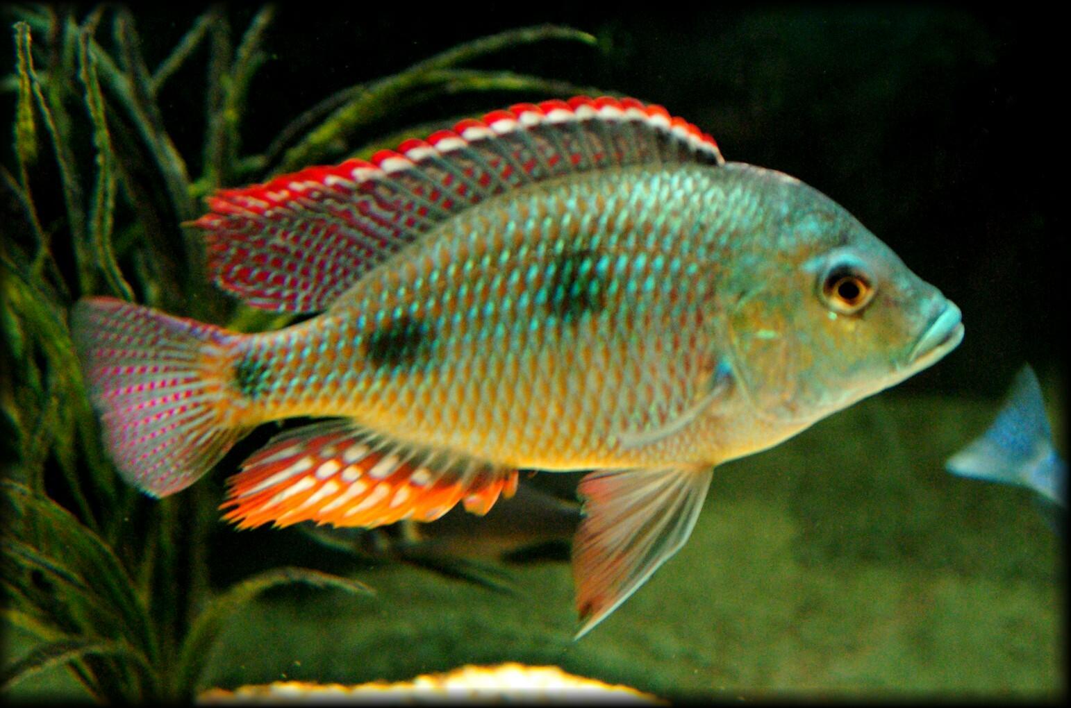 """cichlids.com: Lethrinops Intermedius """"Green Face"""""""