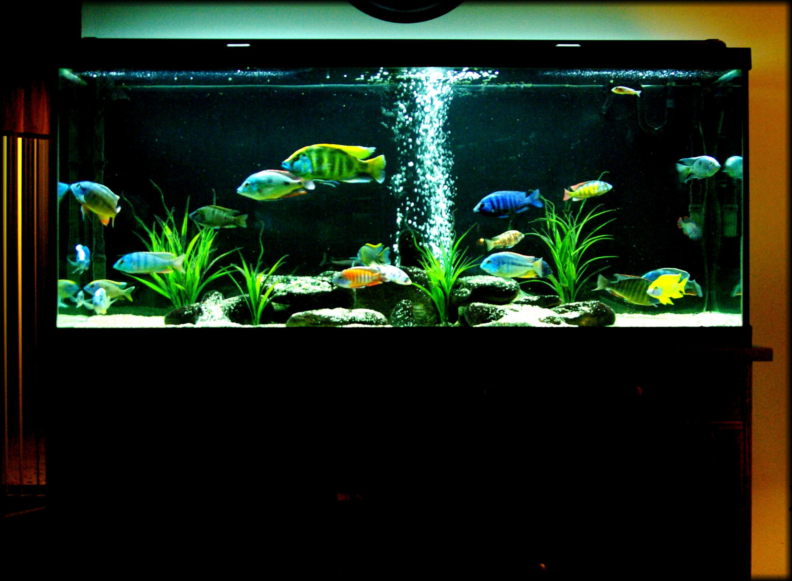 cichlids.com: Our 120gal. All male African Hap/Peacock tank...